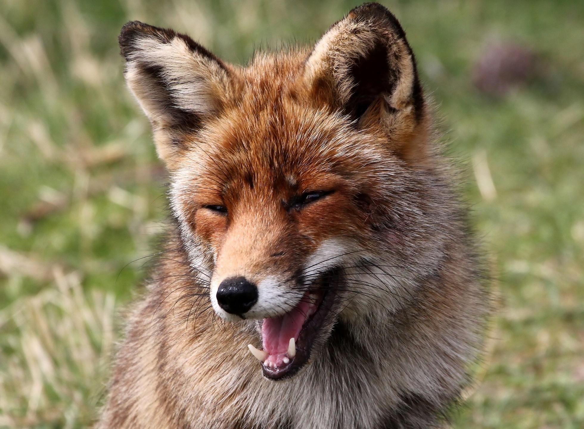 Animal Fox 1960x1440