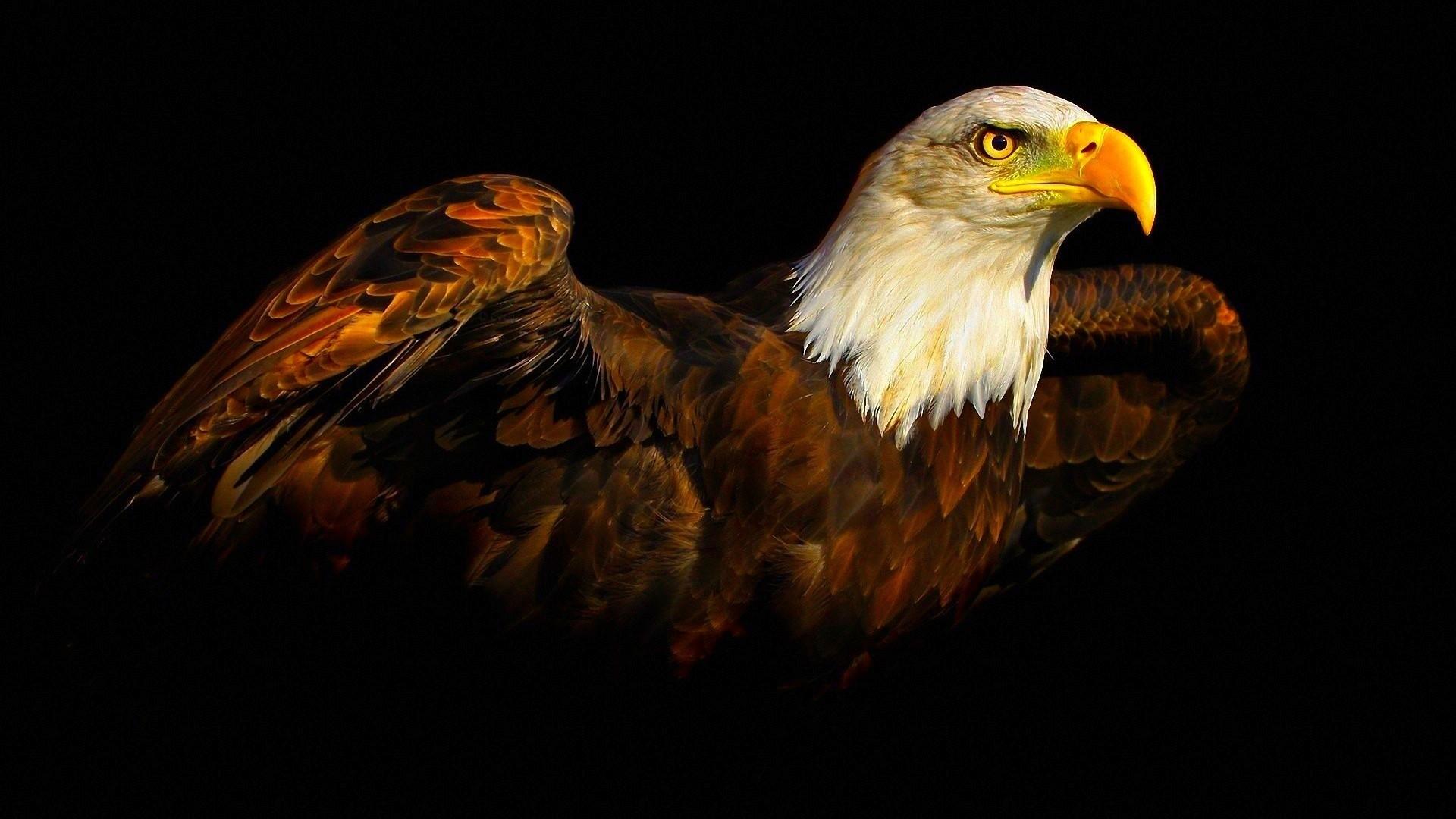 Eagle Birds Animals Black Background 1920x1080