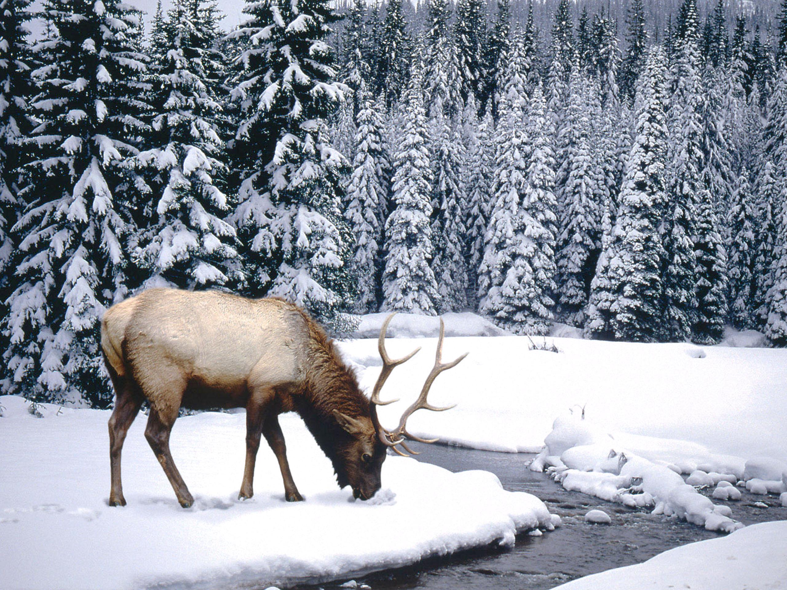 Animal Elk 2560x1920