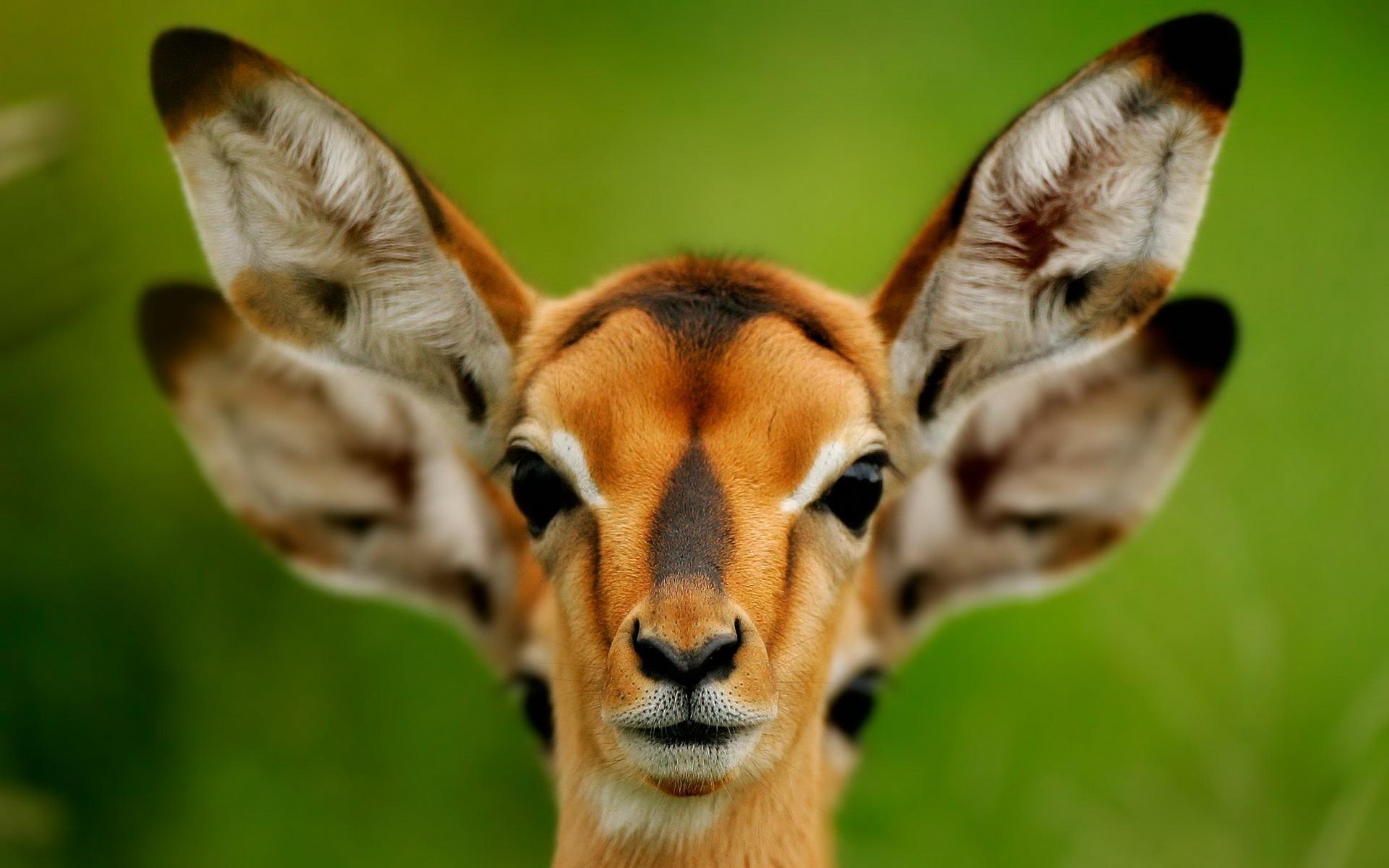 Animal Deer 1920x1200