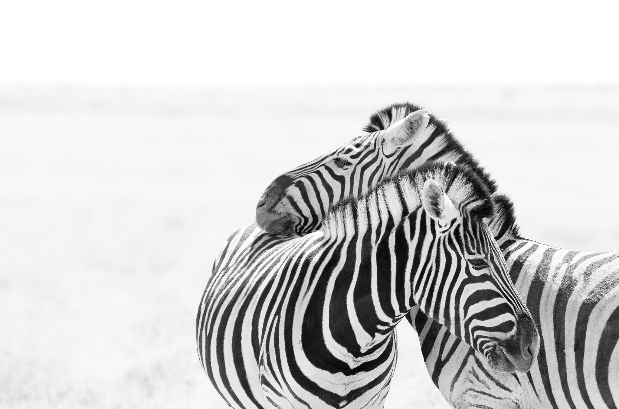 Black Amp White Wildlife Zebra 2046x1352