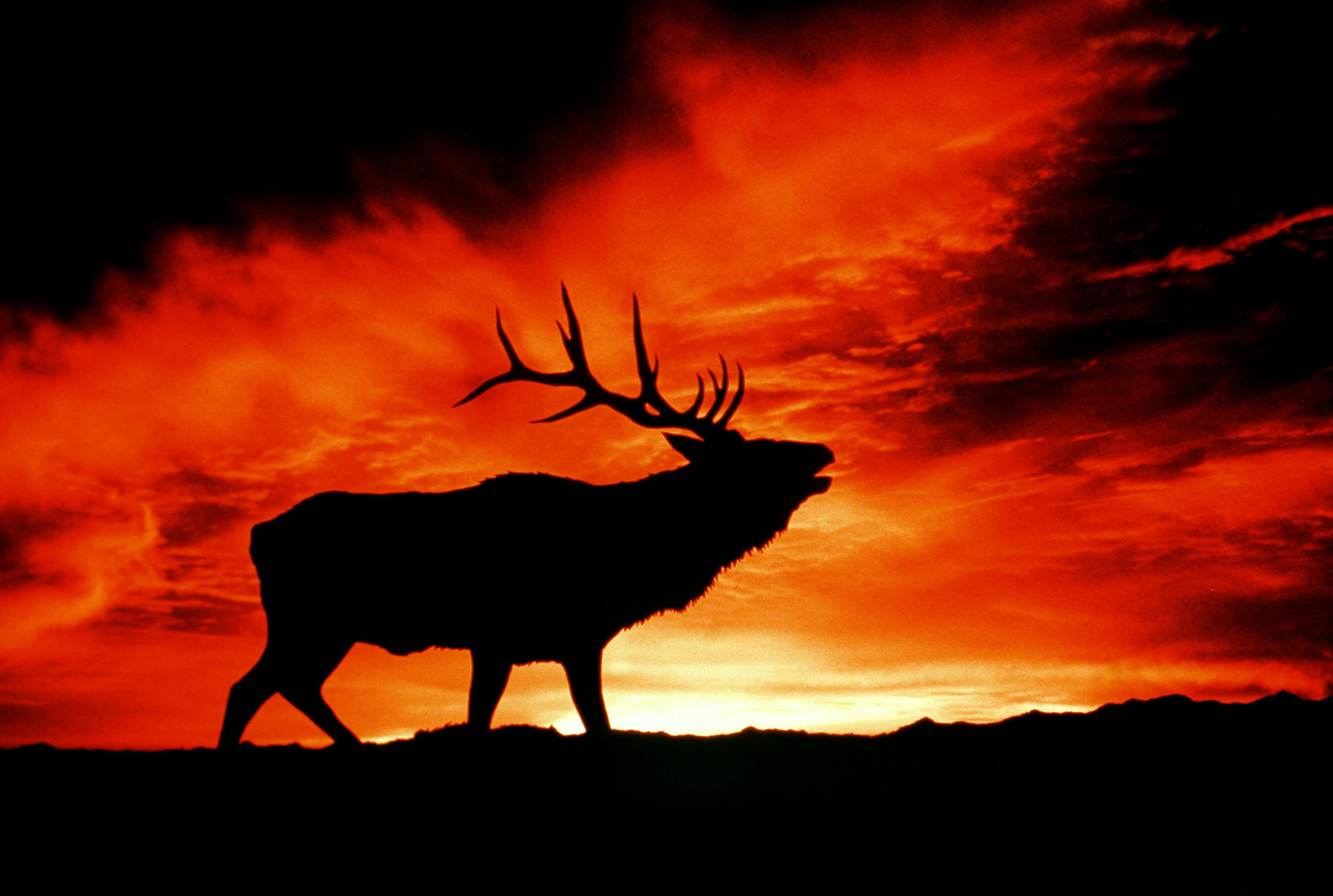 Animal Elk 4255x2861
