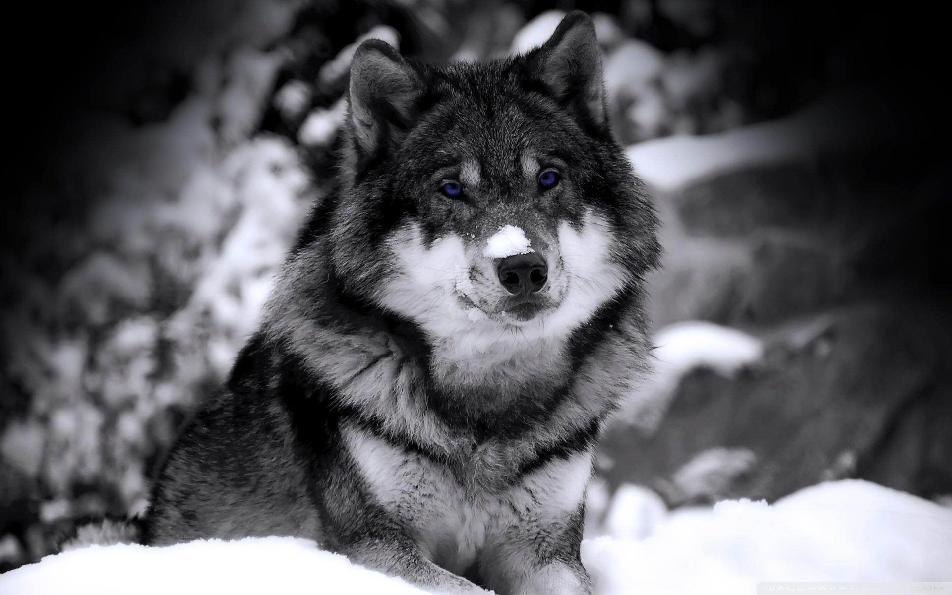 Wolf 1920x1200