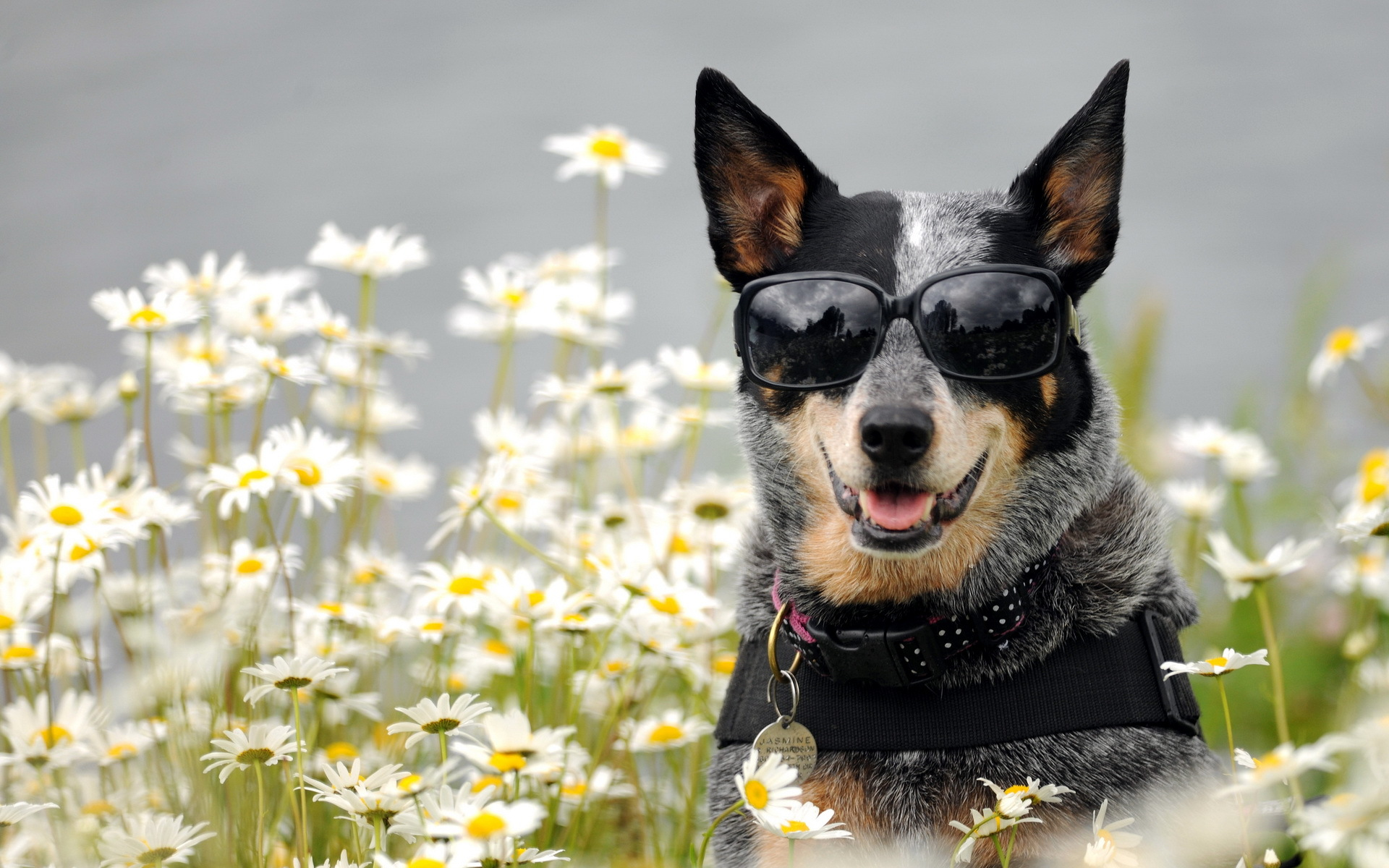 Daisy Dog Flower Sunglasses 1920x1200