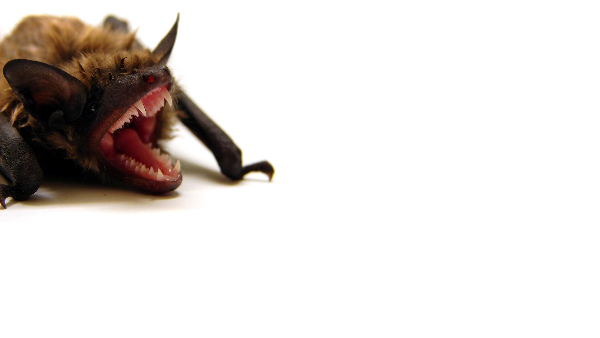 Animal Bat 1920x1080