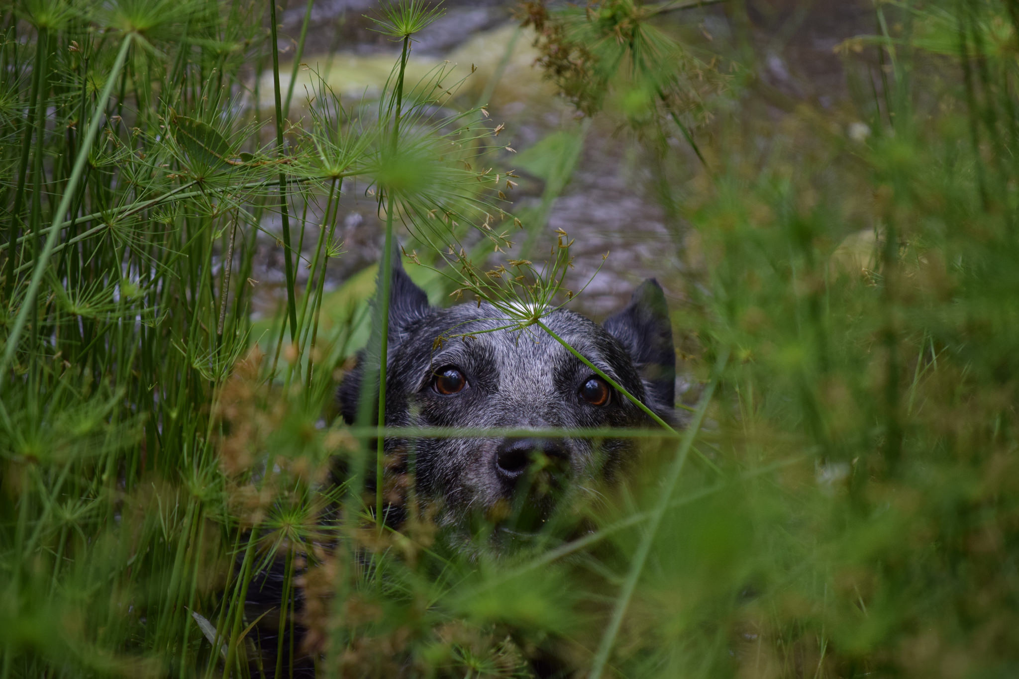 Australian Cattle Dog Dog Pet Plant Stare 2048x1365