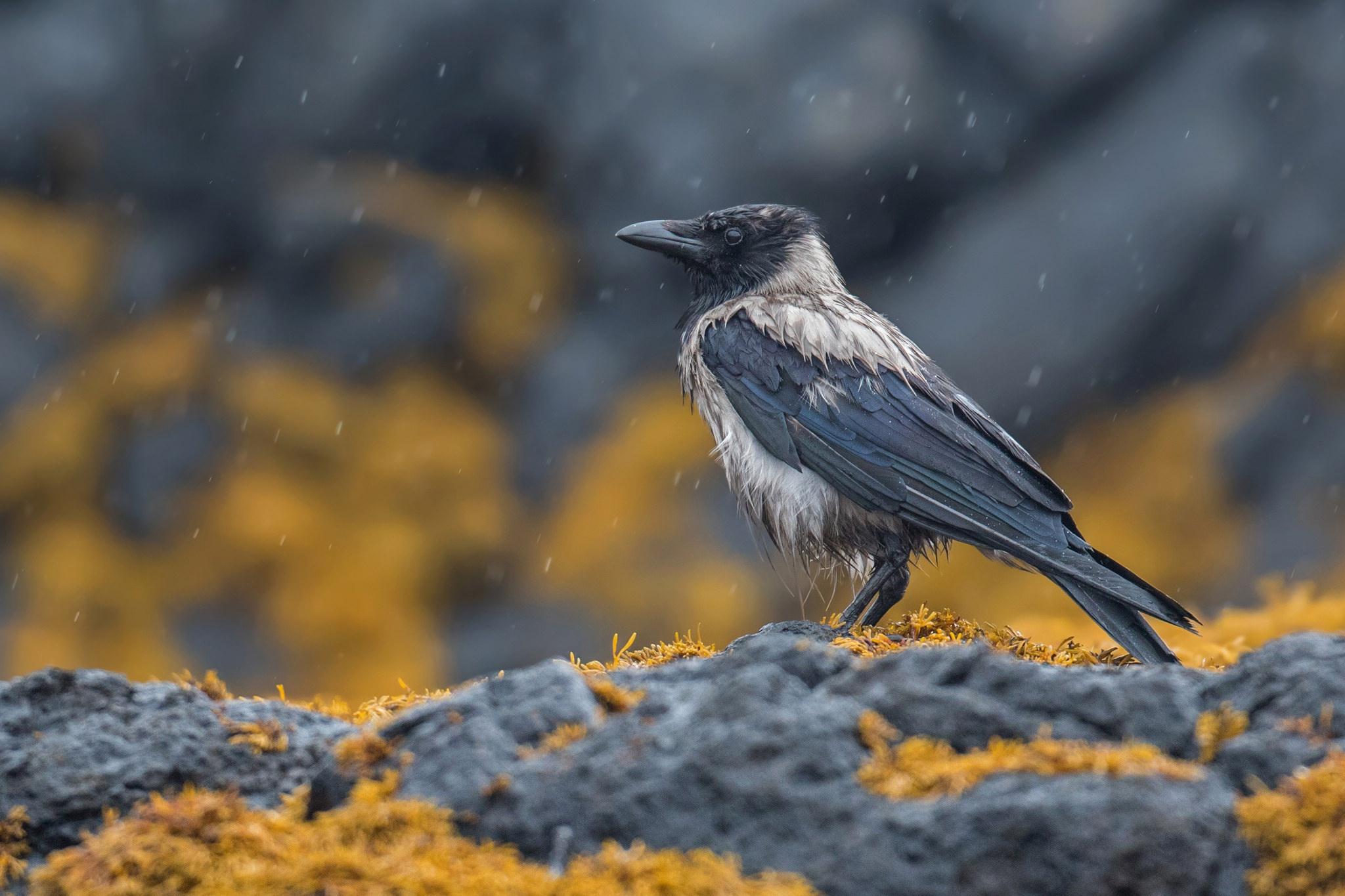Bird Crow Hooded Crow Wildlife 2048x1365