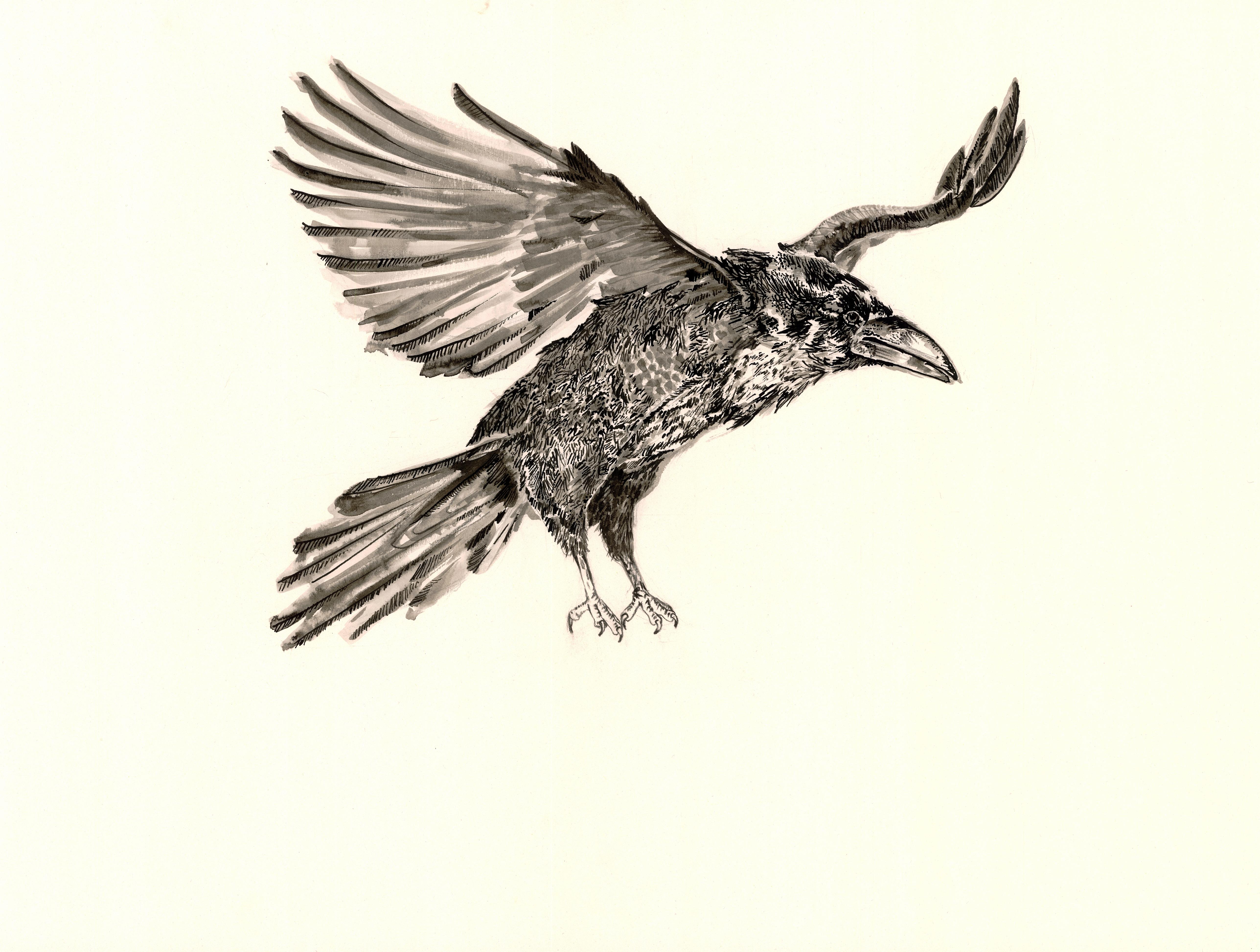 Animal Raven 5150x3892