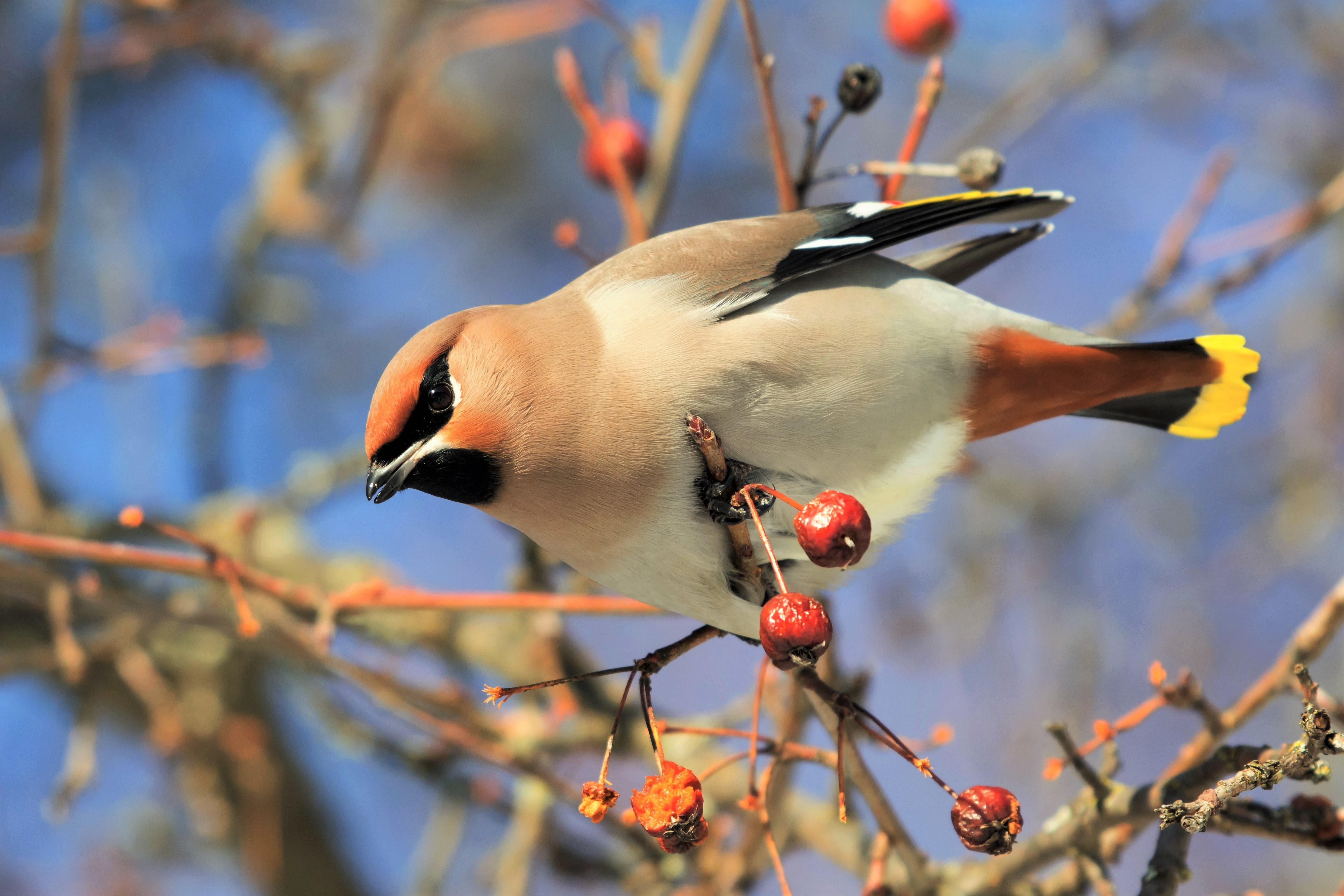 Animal Berry Bird Cedar Waxwing 4978x3319