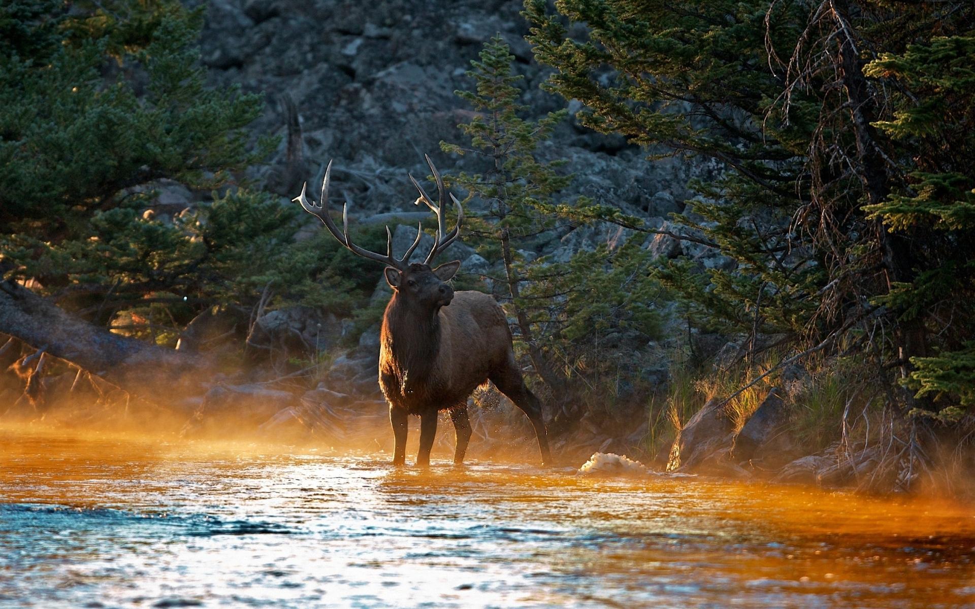 Animal Elk 1920x1200