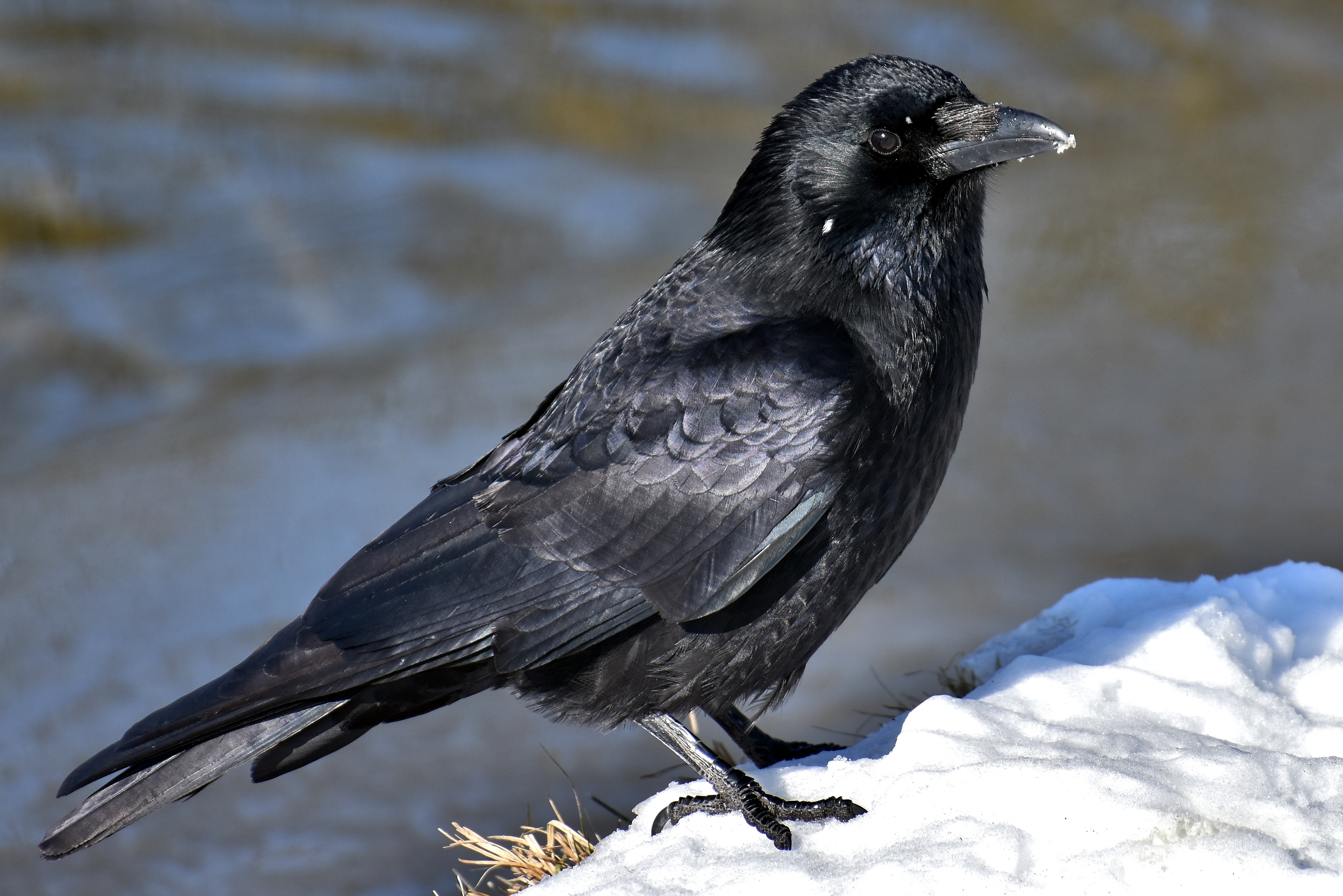 Bird Crow 4000x2670