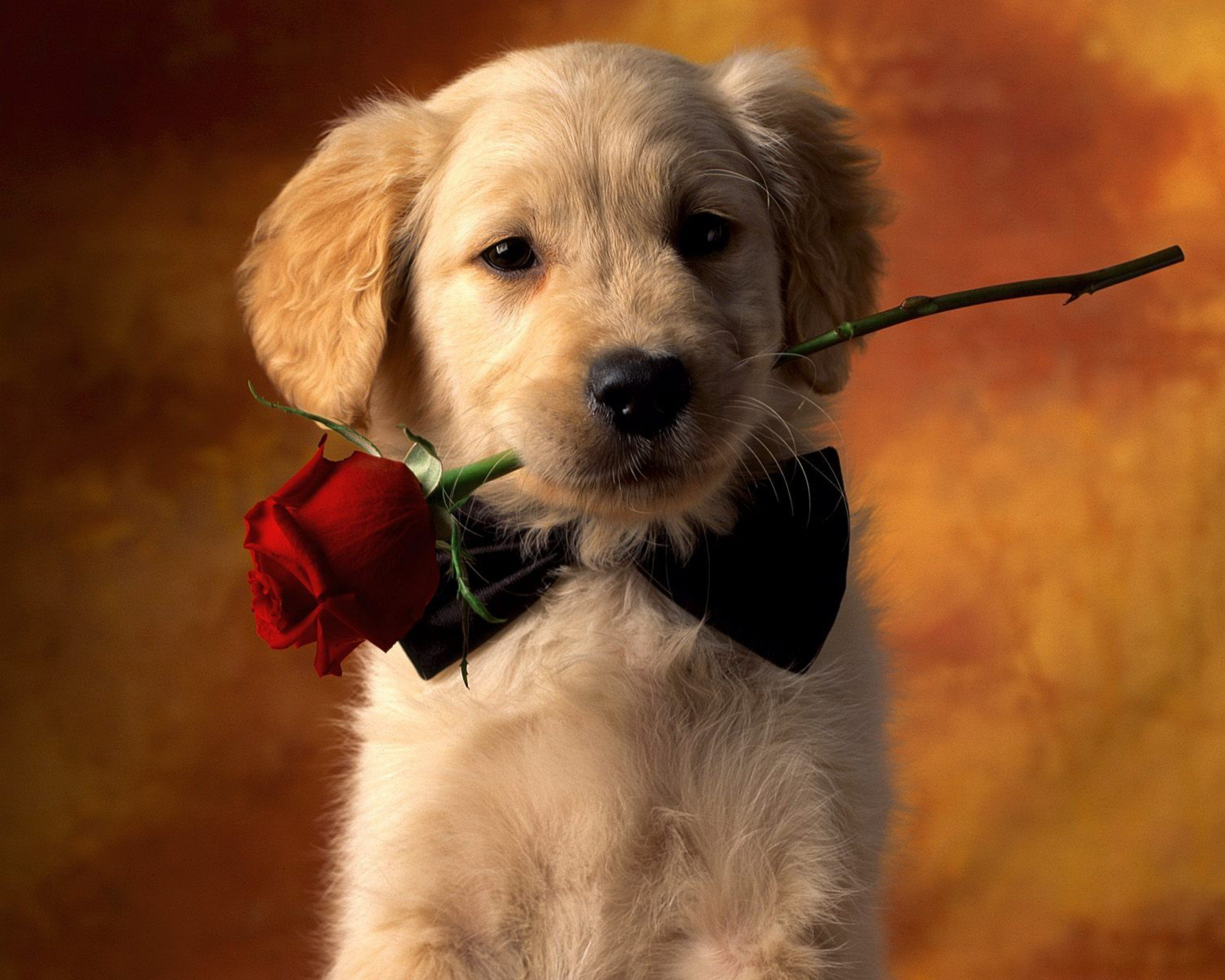 Cute Dog Golden Retriever Pet Puppy Red Rose Rose 2560x2048