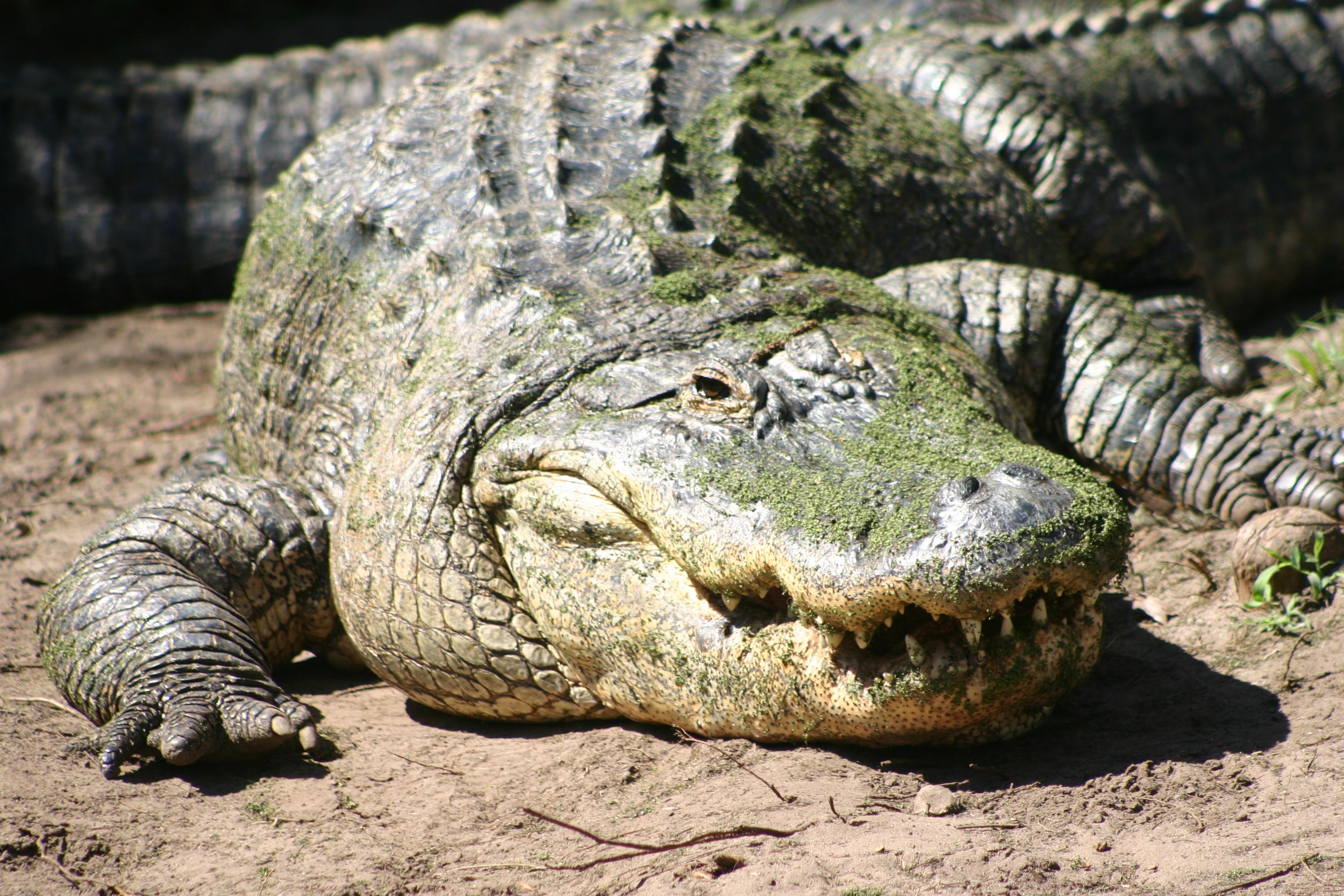 Crocodile Reptile Wildlife 3072x2048