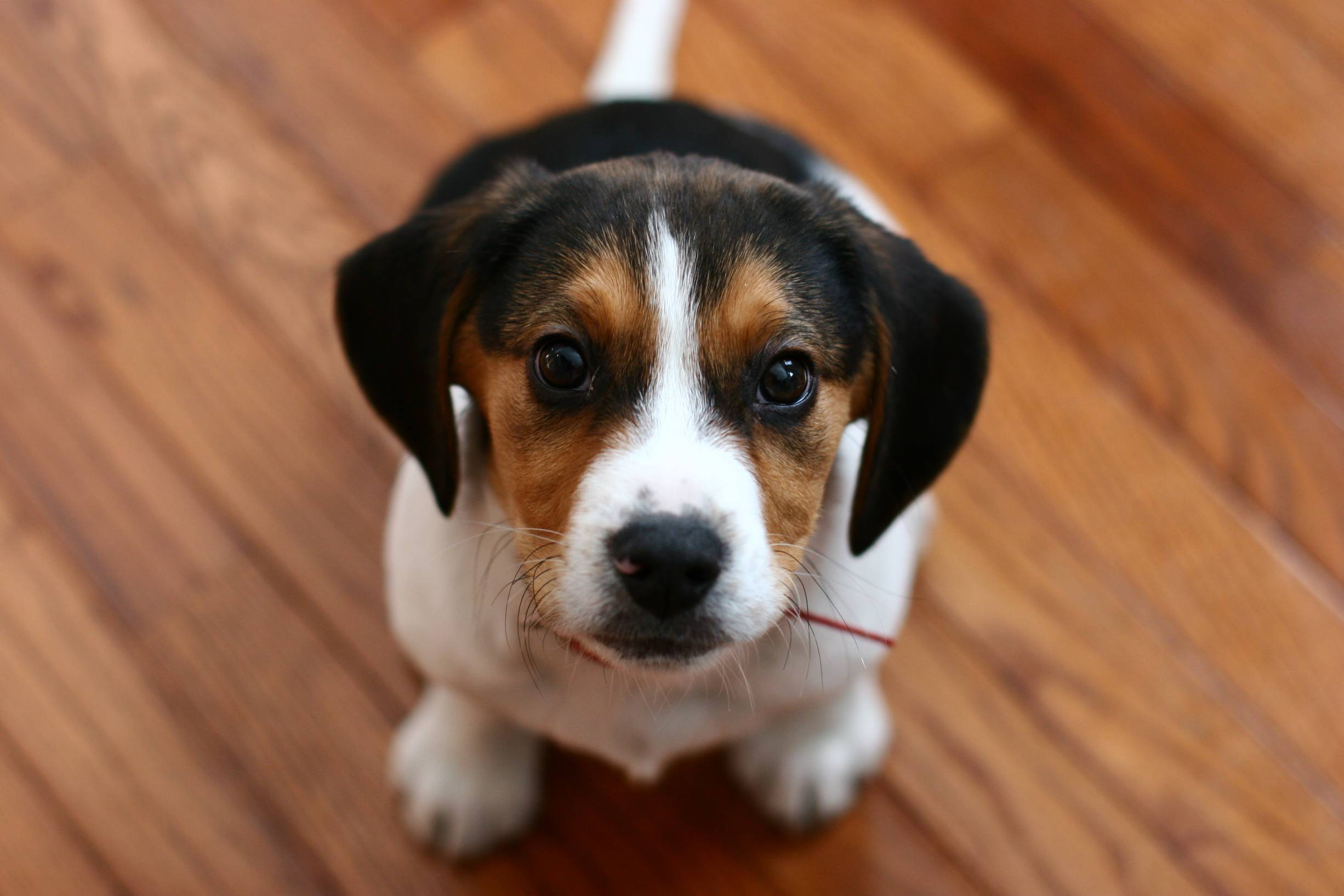 Baby Animal Beagle Cute Muzzle Puppy 2452x1635