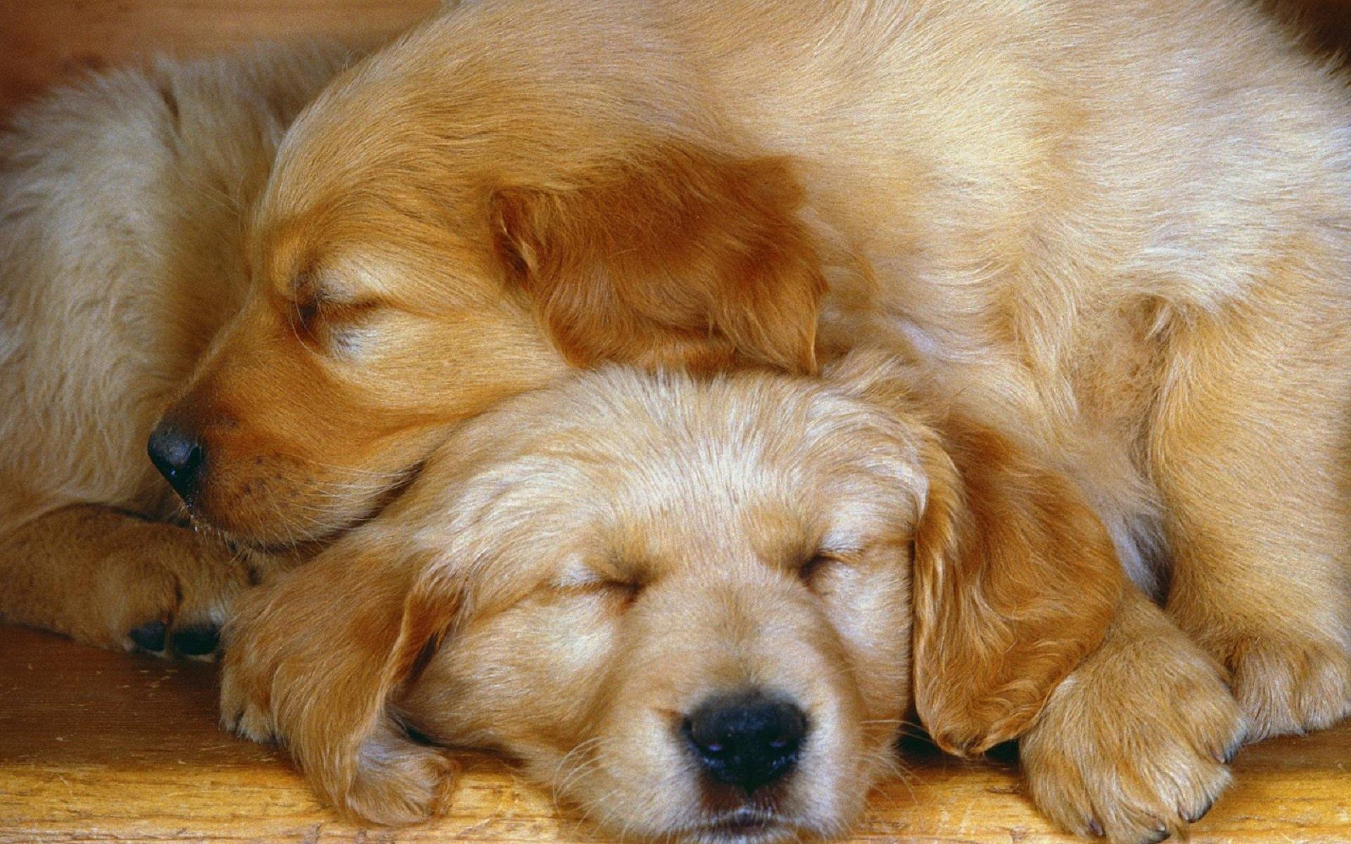 Animal Close Up Cute Dog Golden Retriever Puppy Sleeping Wallpaper Resolution 1920x1200 Id 1002809 Wallha Com