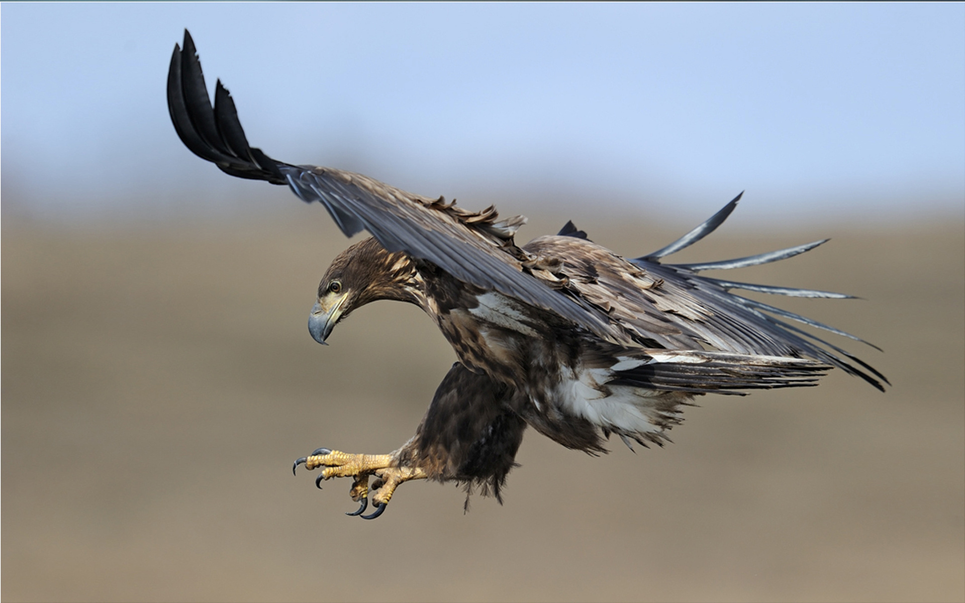 Animal Eagle 1920x1200