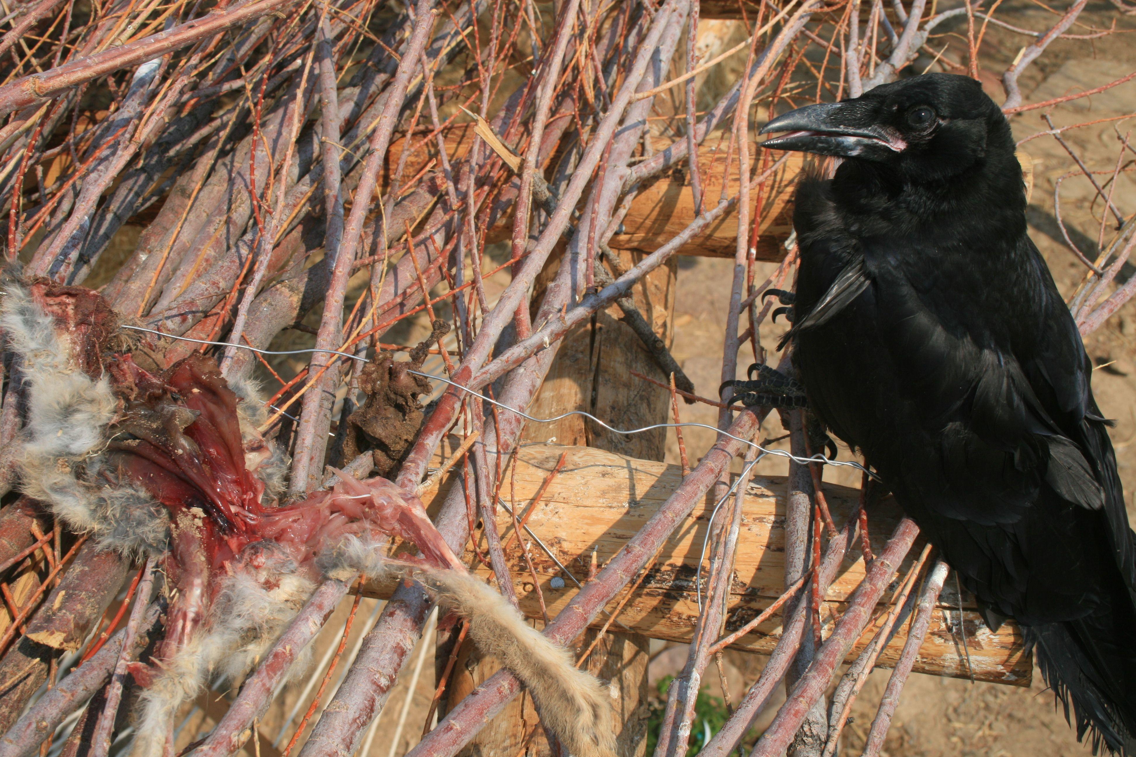 Animal Raven 3888x2592