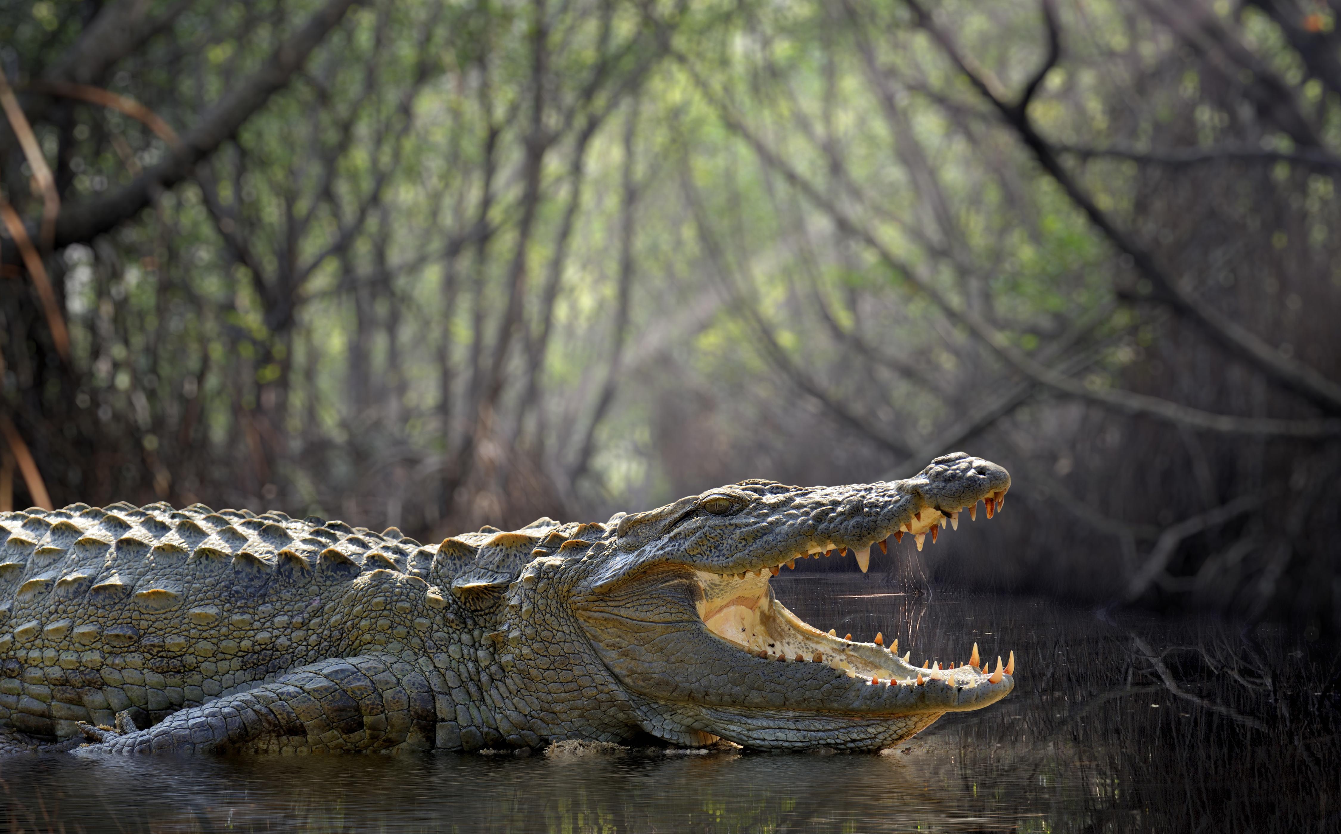 Crocodile Depth Of Field Wildlife Predator Animal 4500x2800