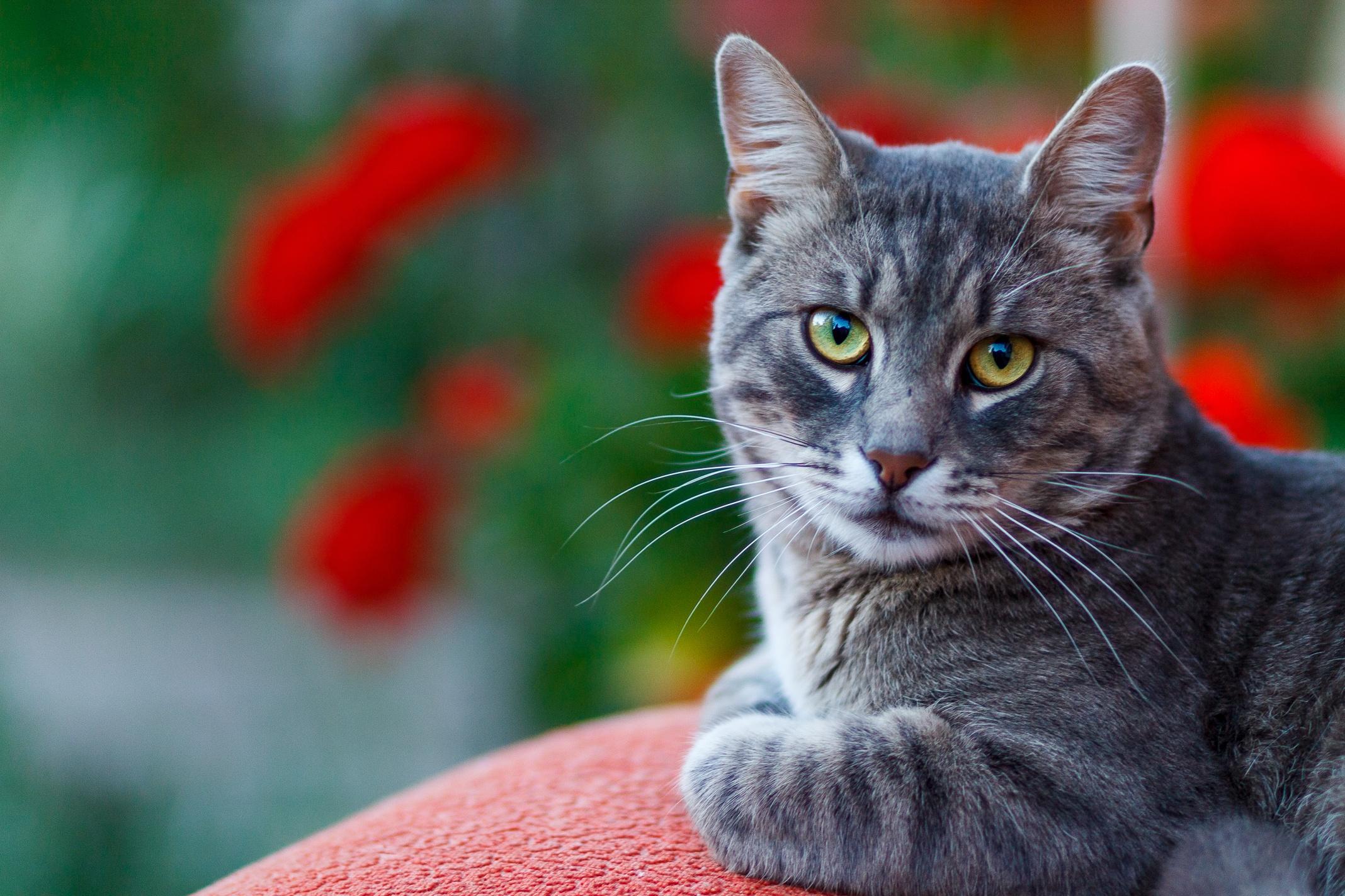Cat Depth Of Field Pet Stare 2136x1424