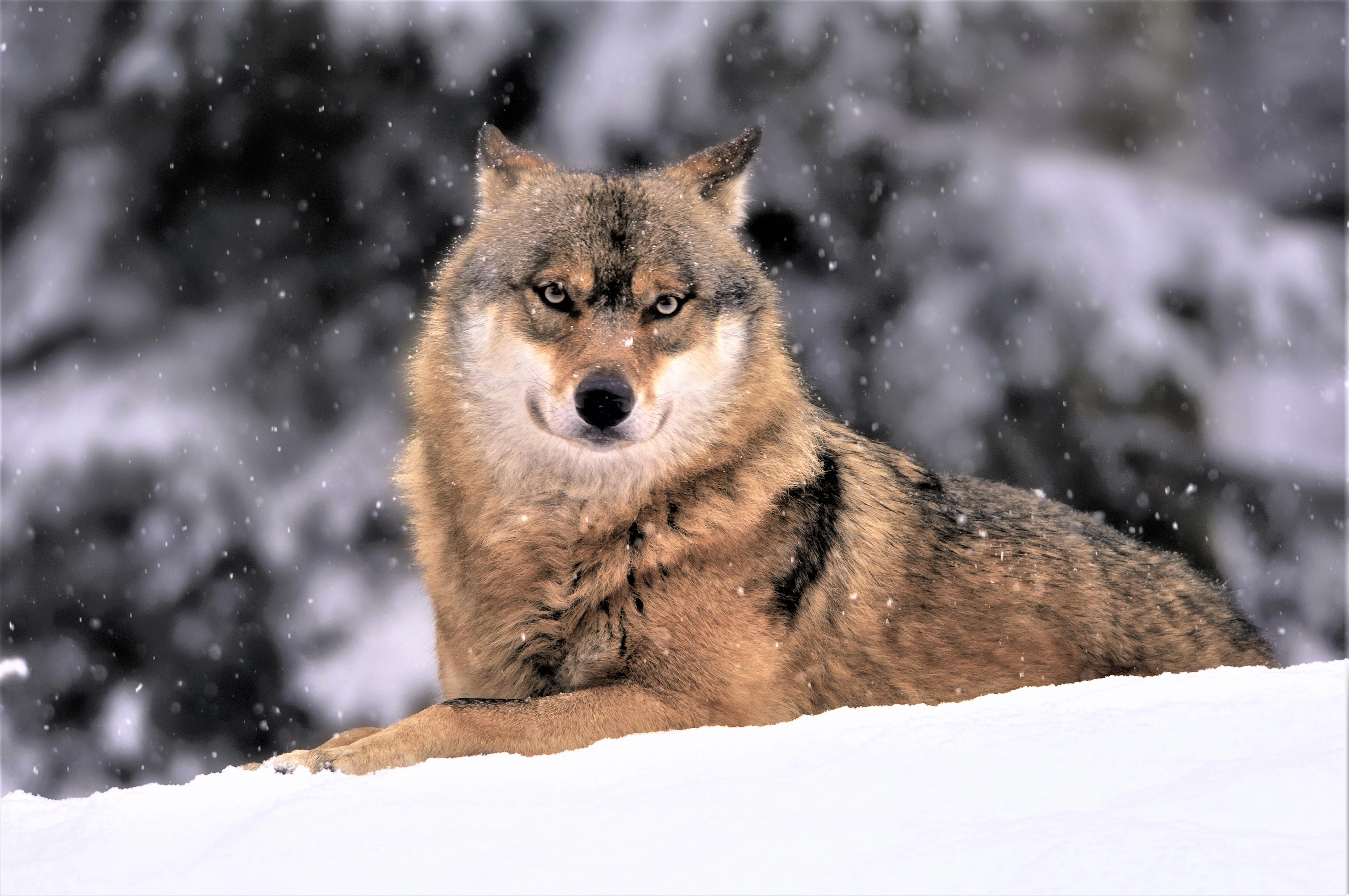 Muzzle Snow Snowfall Wildlife Winter Wolf Predator Animal 4216x2800
