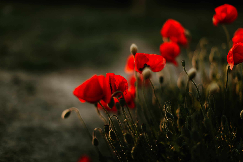 Flower Nature Poppy Red Flower 3000x2000