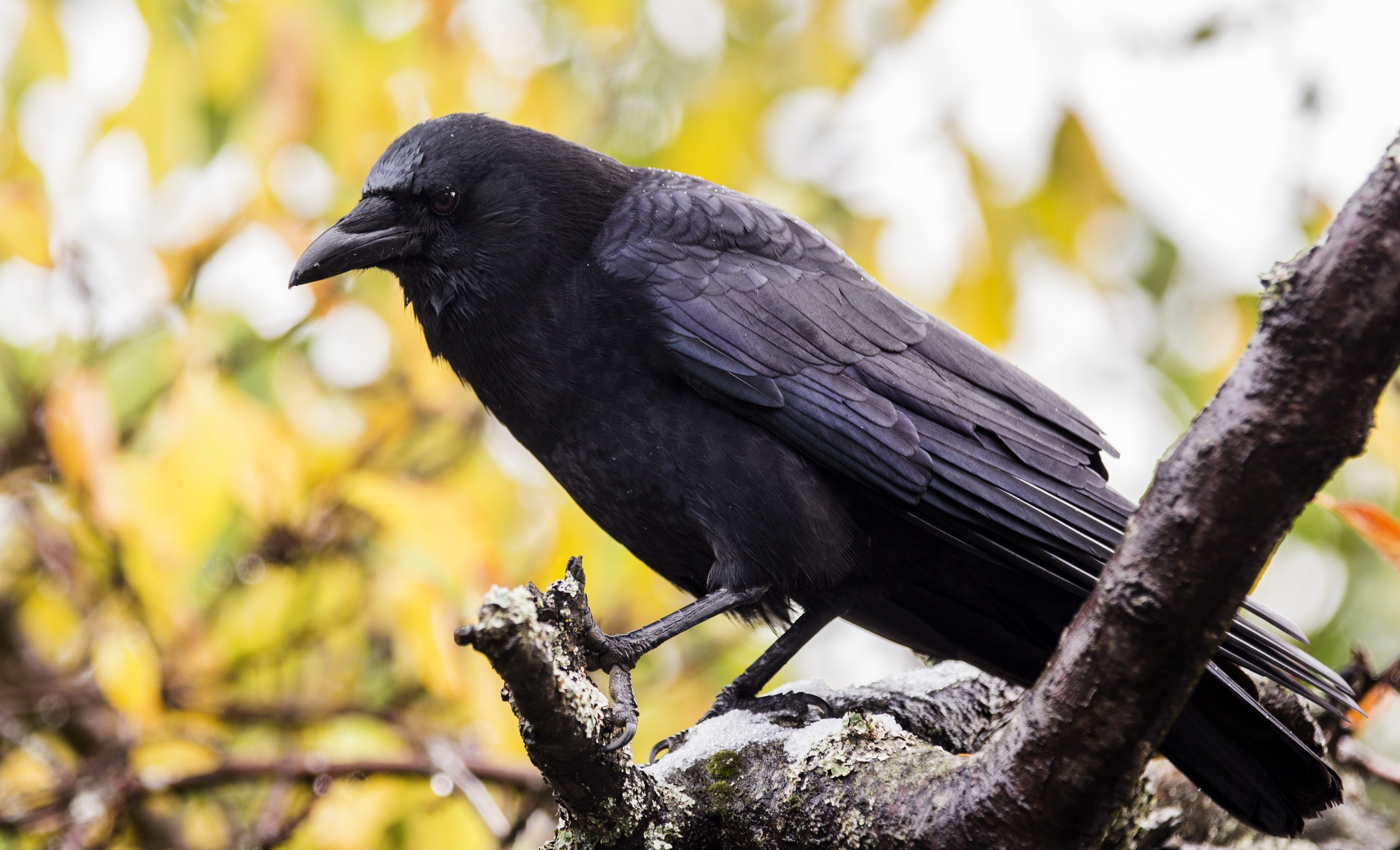 Bird Crow Depth Of Field Wildlife 2560x1554