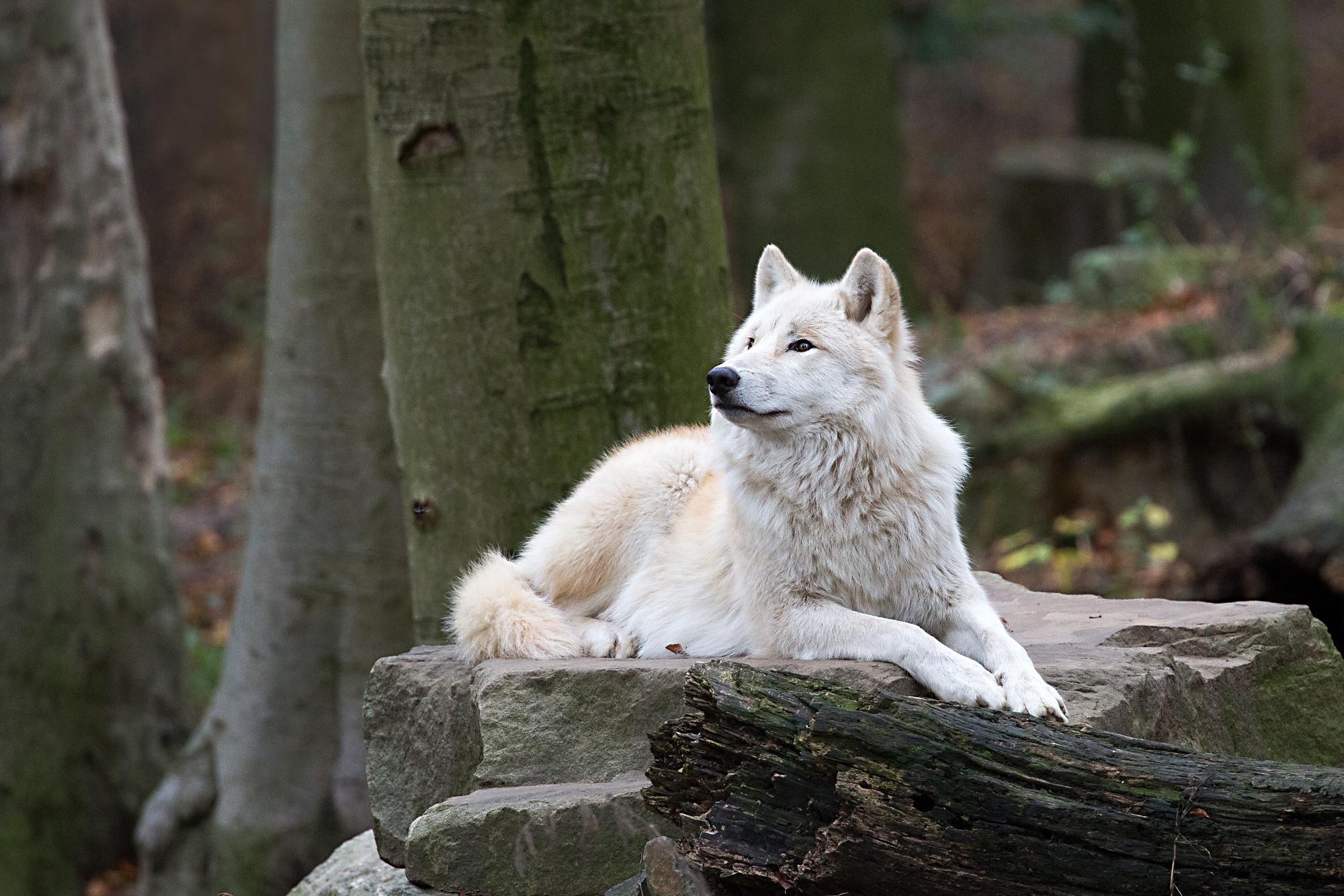 White Wolf Wildlife Wolf Predator Animal 2000x1333