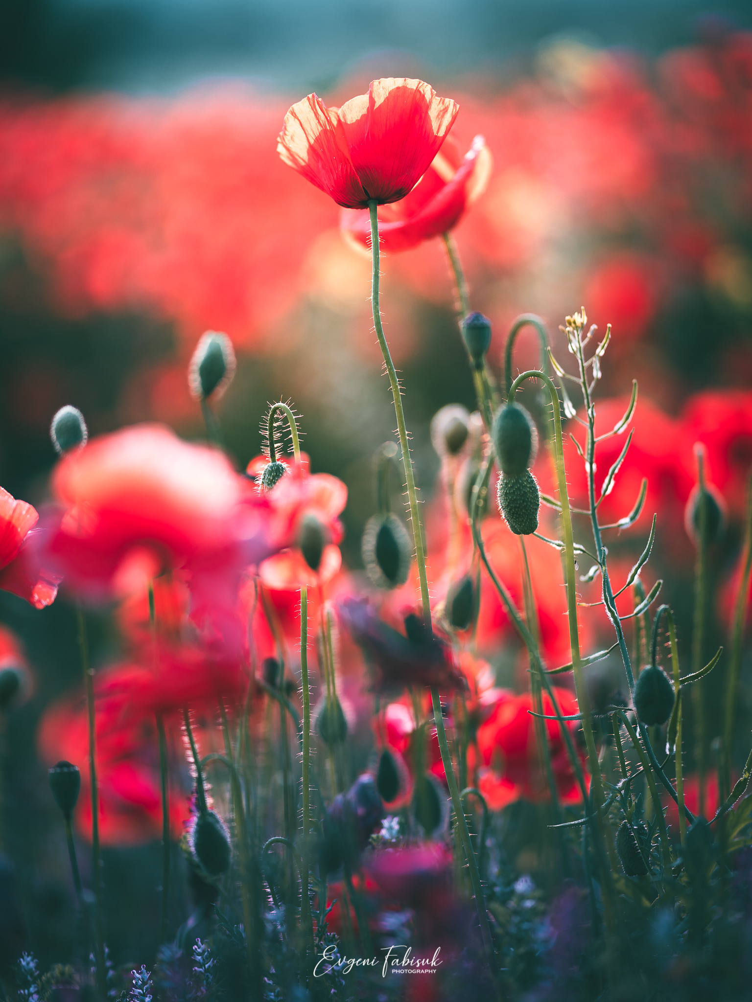 Flowers Nature Landscape Red Field Grass Plants Photography Leaves Green Poppies Evgeni Fabisuk 1536x2048