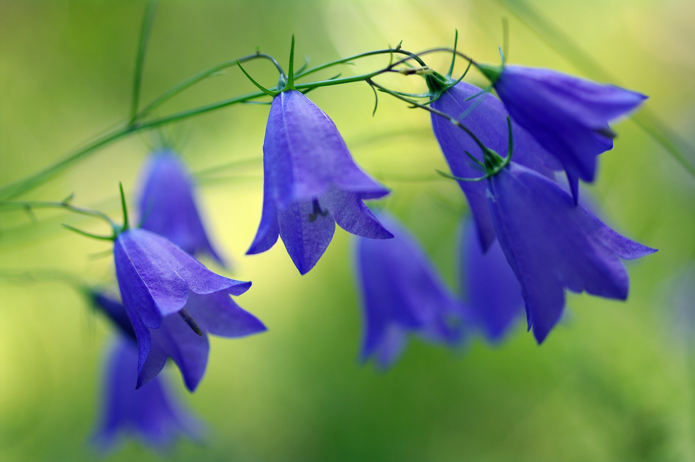 Blue Flower Bluebell Flower Nature 2232x1484