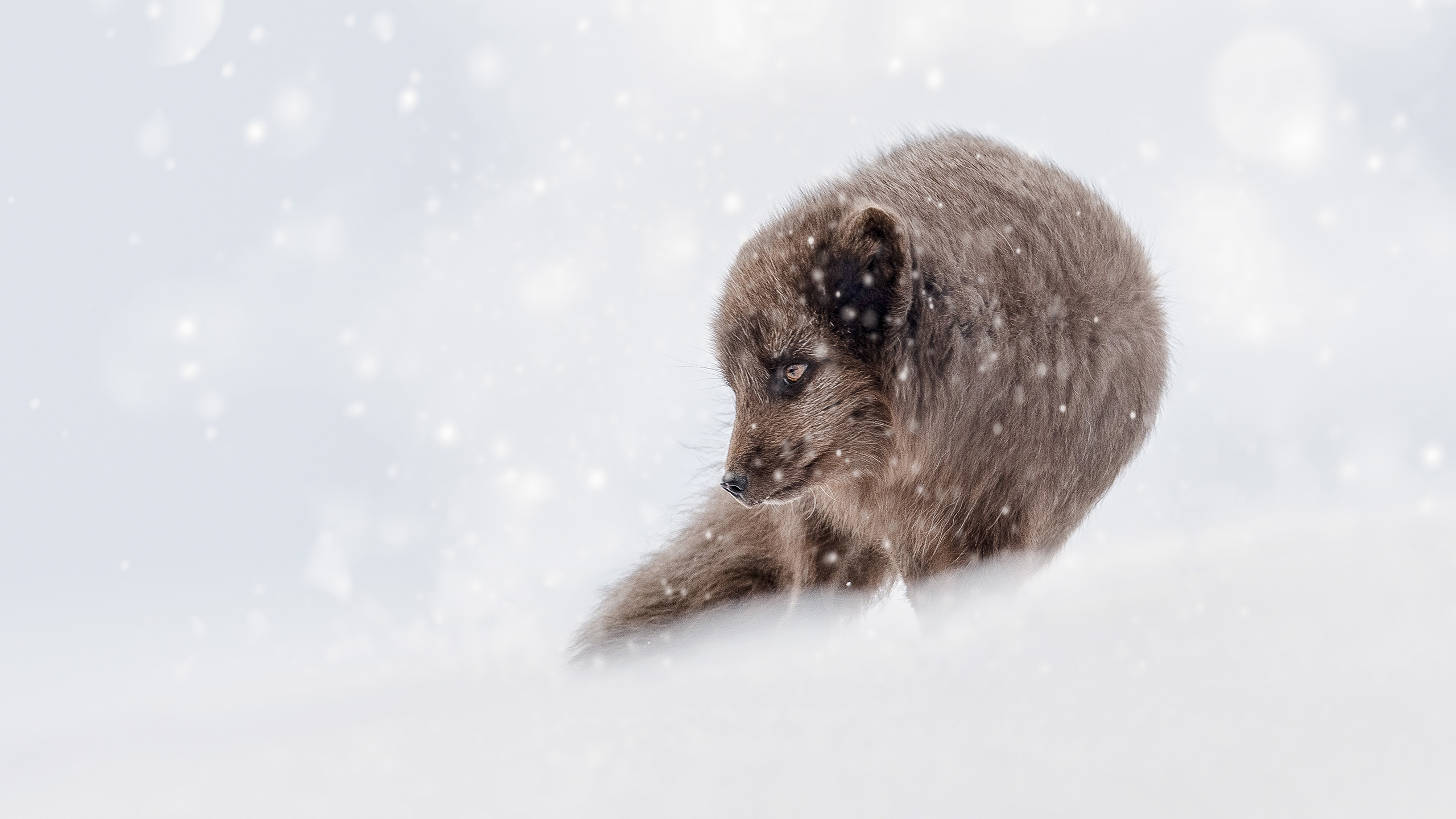 Fox Snow Snowfall Wildlife Winter 2560x1440