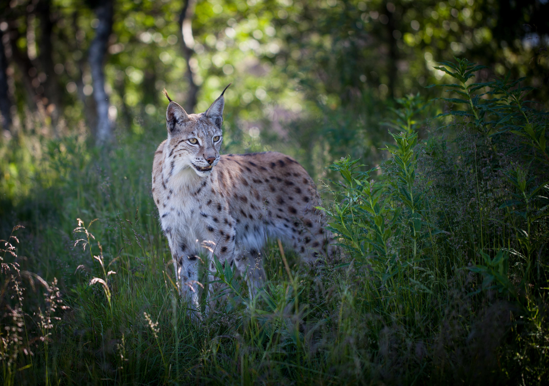 Big Cat Lynx Wildlife Predator Animal 4502x3160