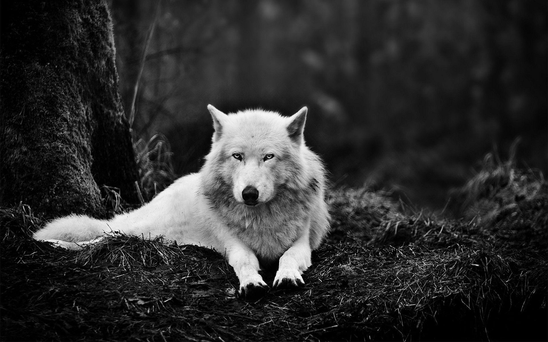 Black Amp White Lying Down Wolf Predator Animal 1920x1200