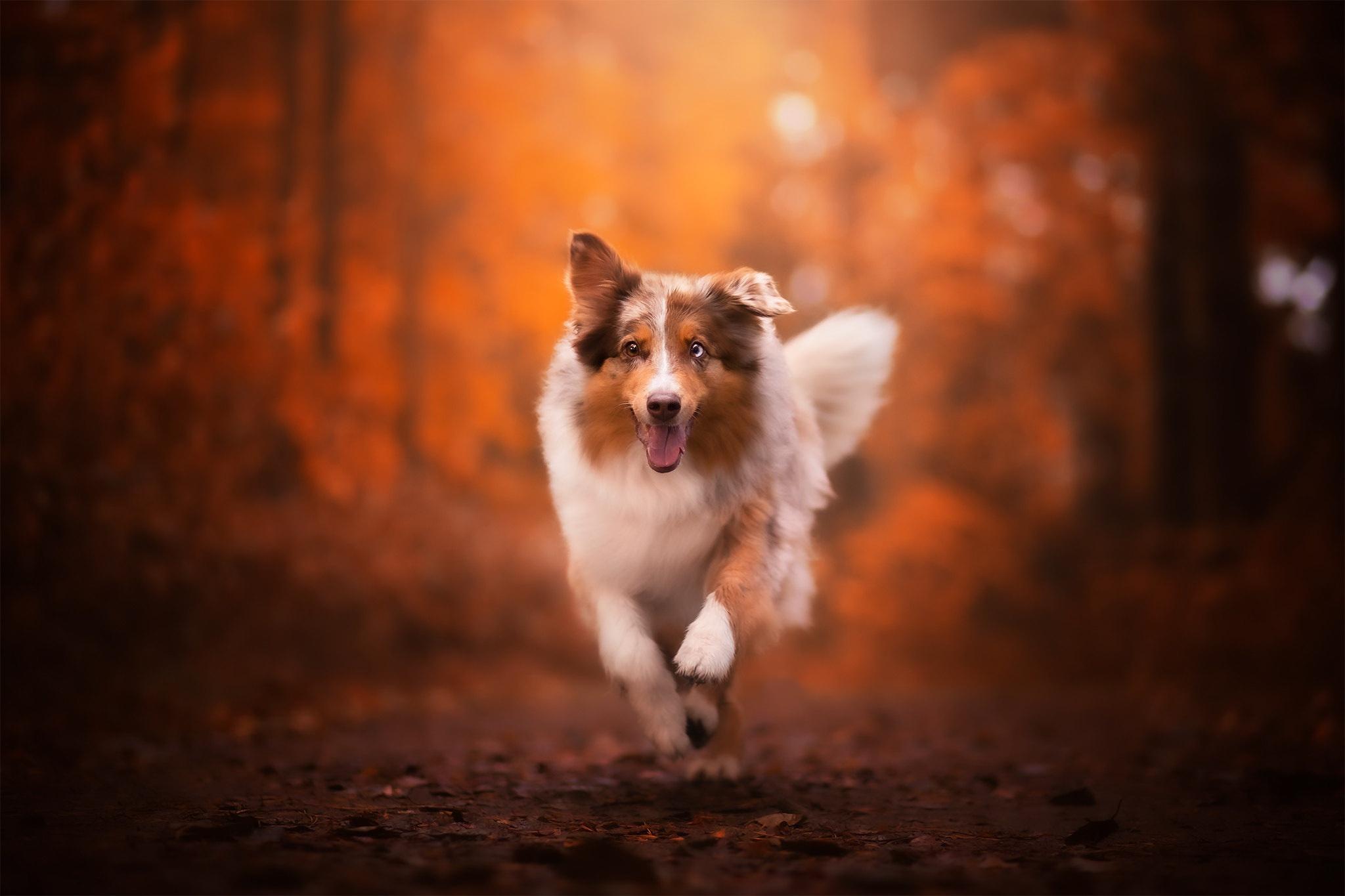 Australian Shepherd Depth Of Field Dog Pet 2048x1365