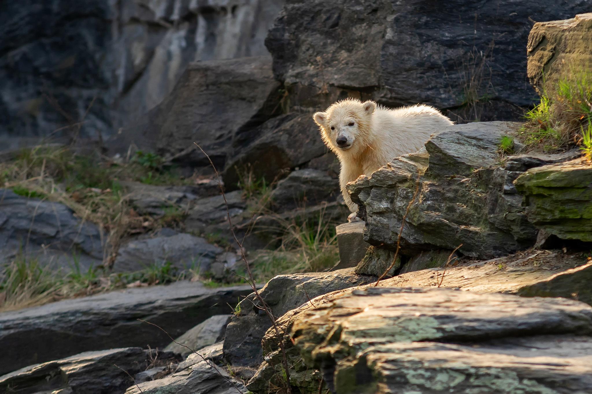 Baby Animal Cub Polar Bear Wildlife 2048x1365