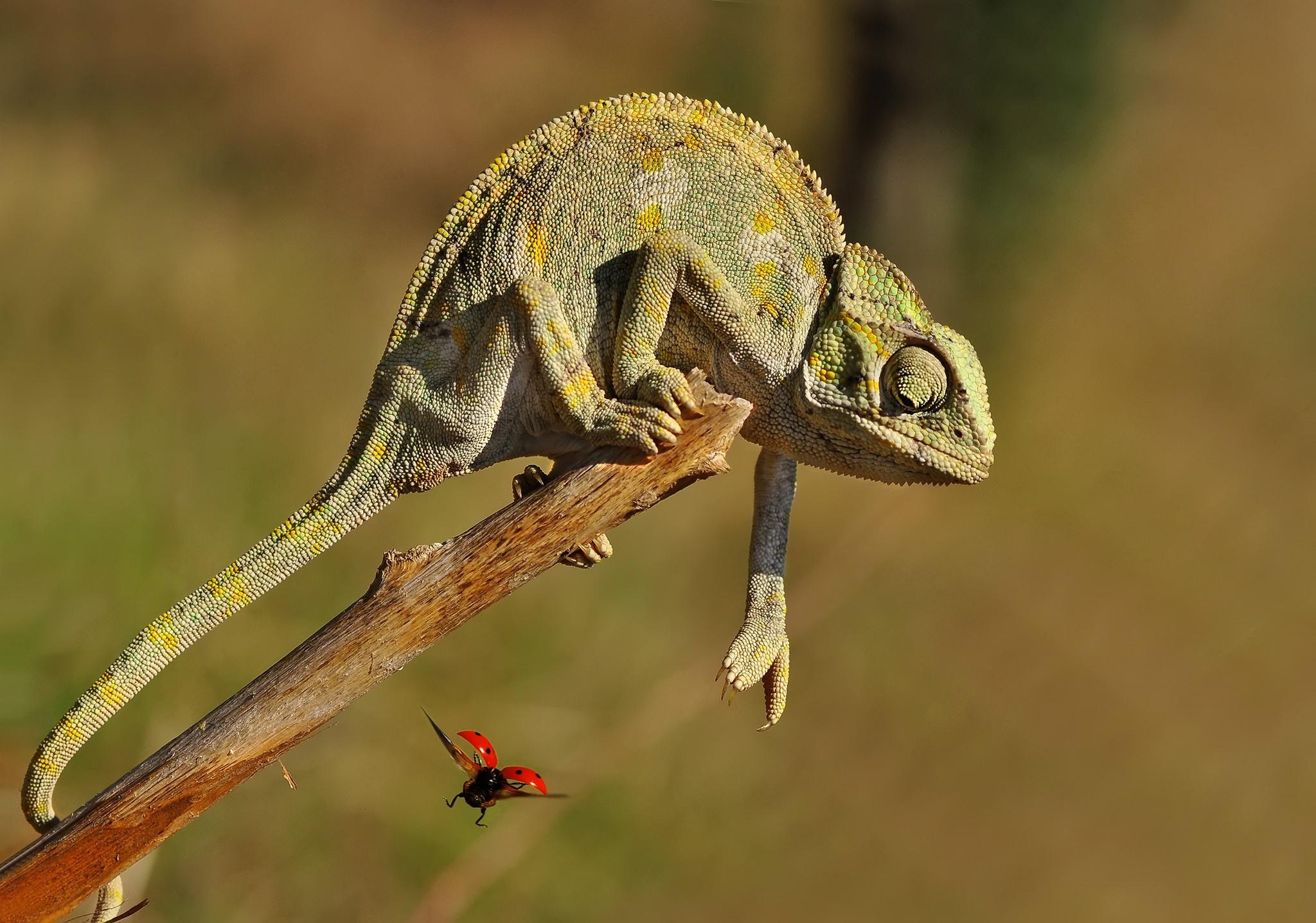 Animal Chameleon Ladybug Lizard Reptile Wildlife 2048x1437