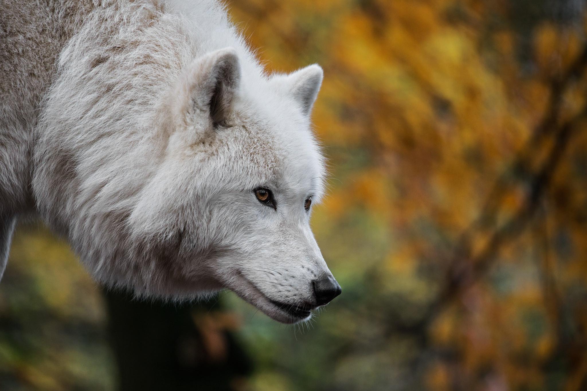 White Wolf Wildlife Wolf Predator Animal 2048x1365