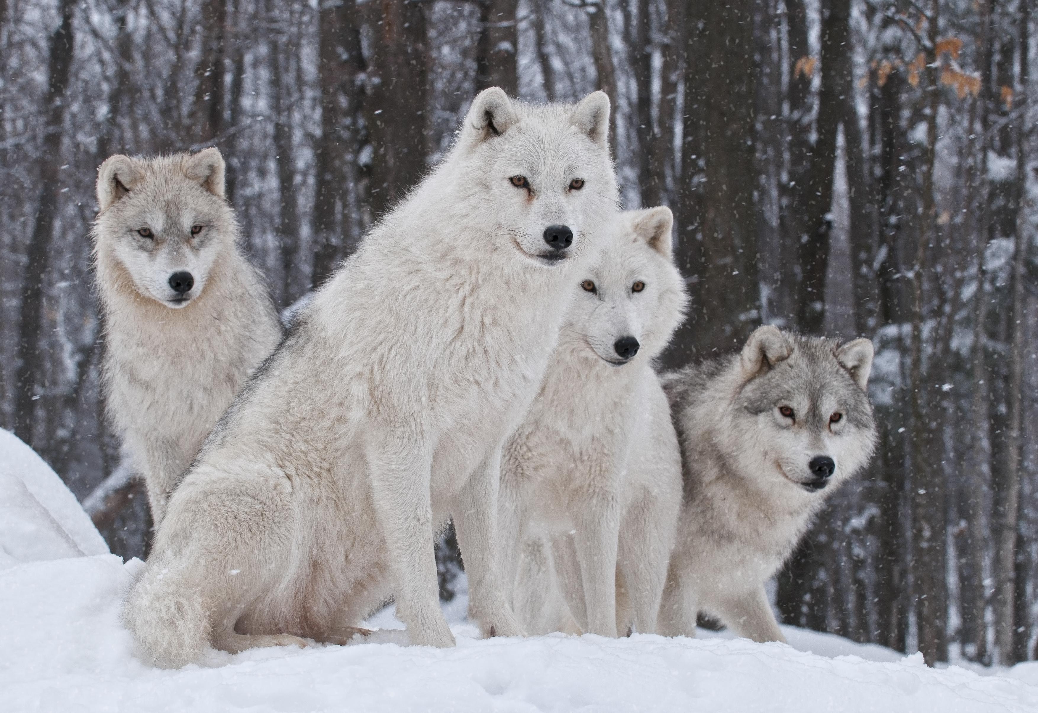 Wildlife Winter Wolf Predator Animal 3508x2408