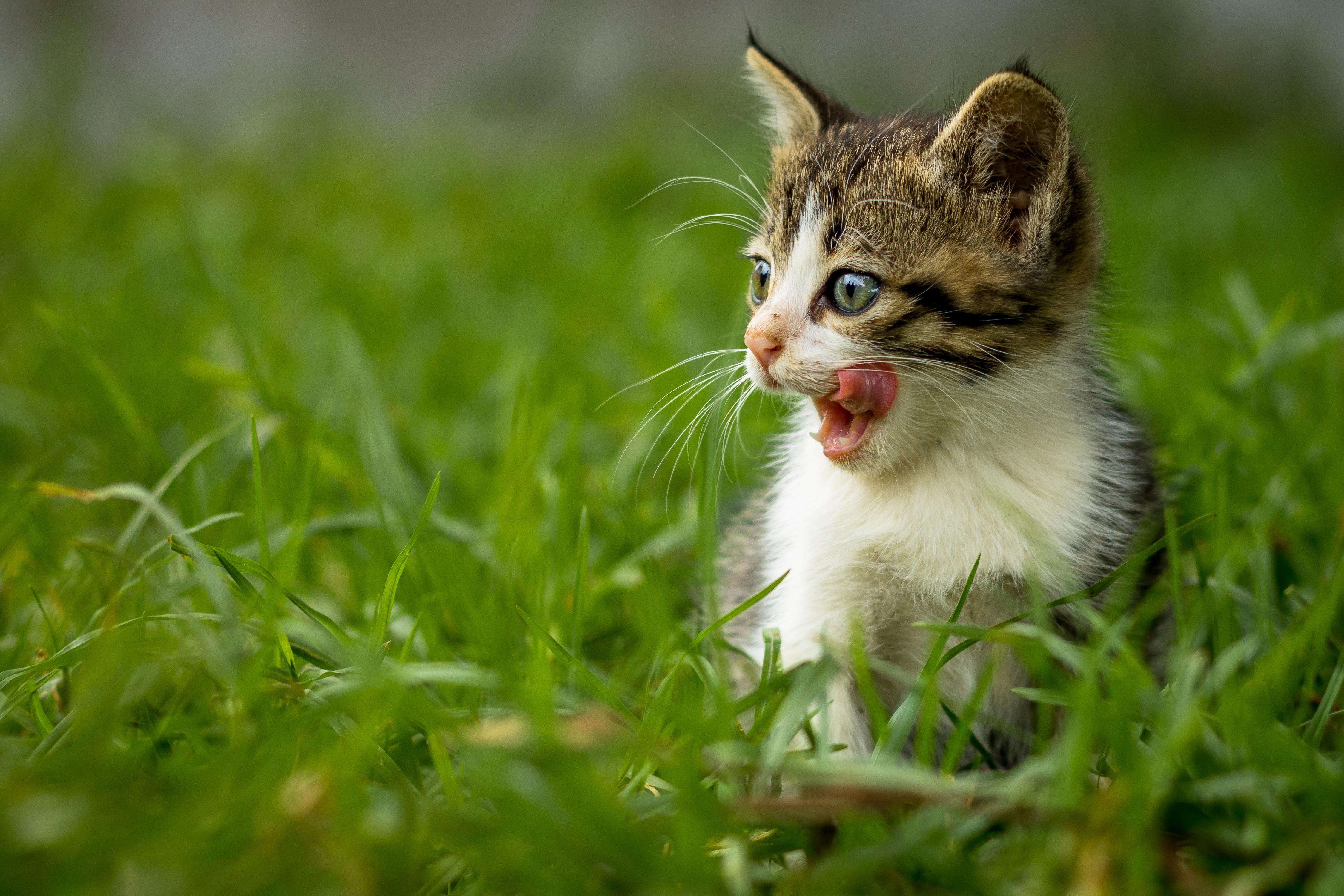 Baby Animal Cat Grass Kitten Pet 4501x3001
