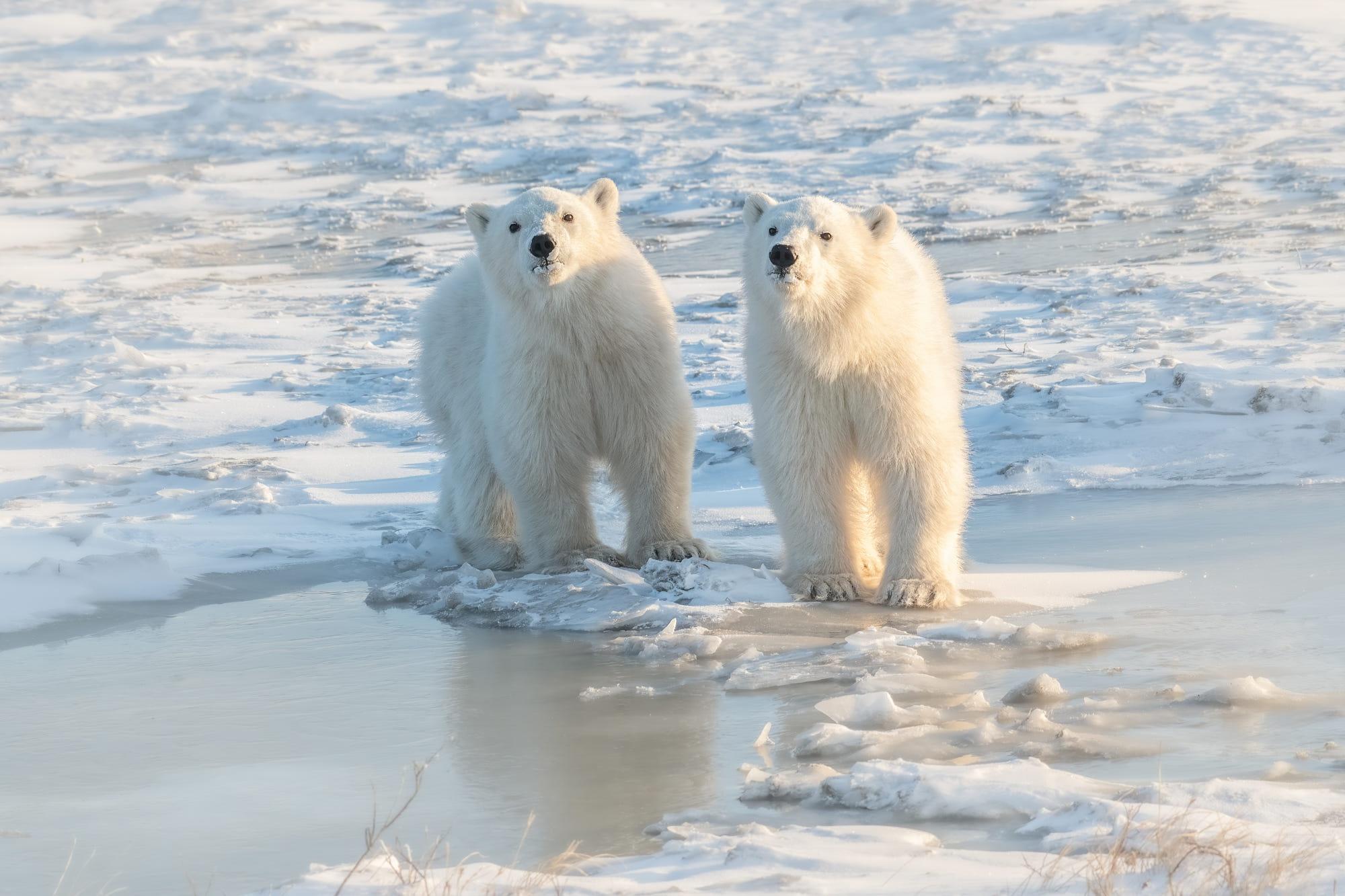 Polar Bear Wildlife 2000x1333