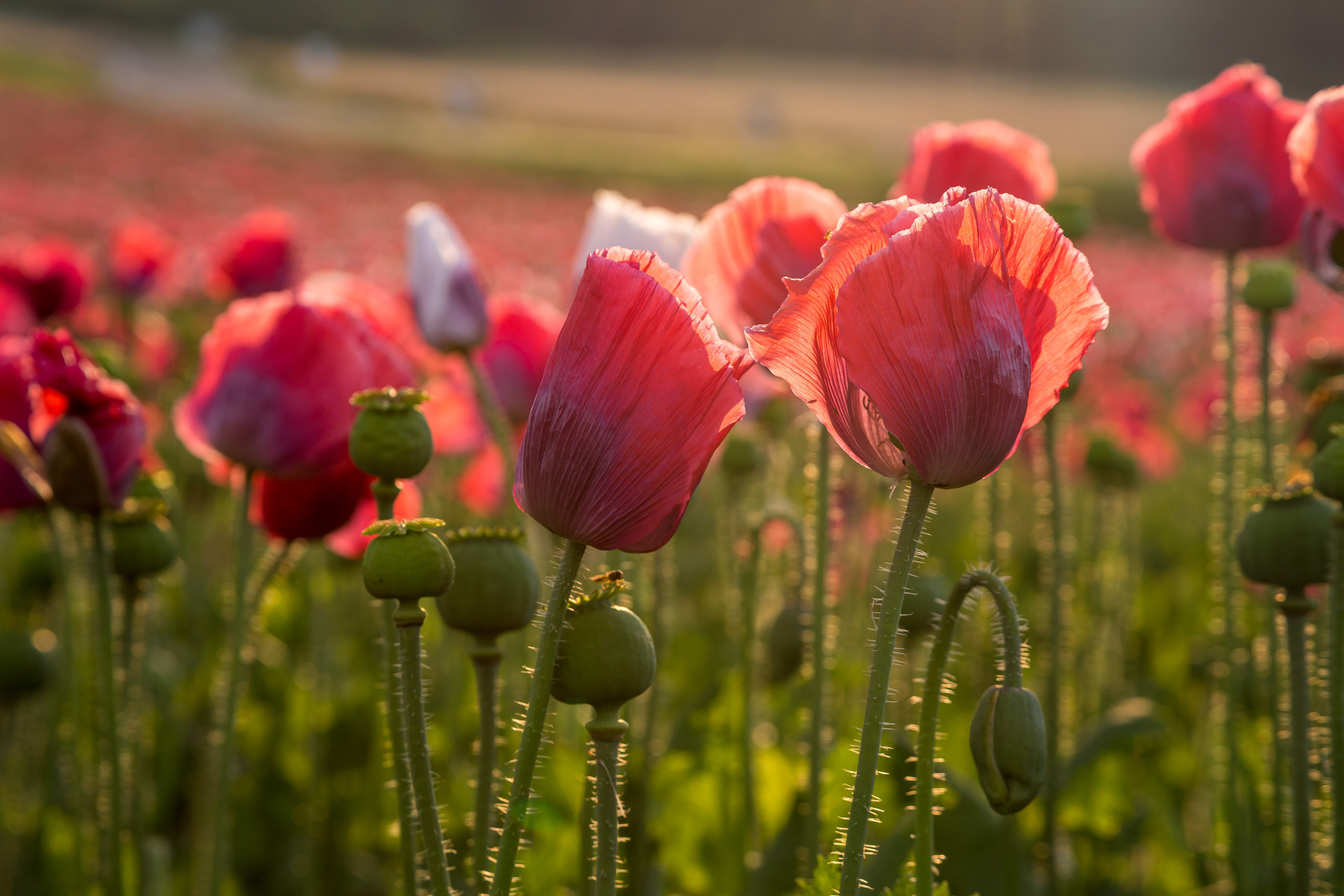 Flower Nature Pink Flower Poppy 5398x3599