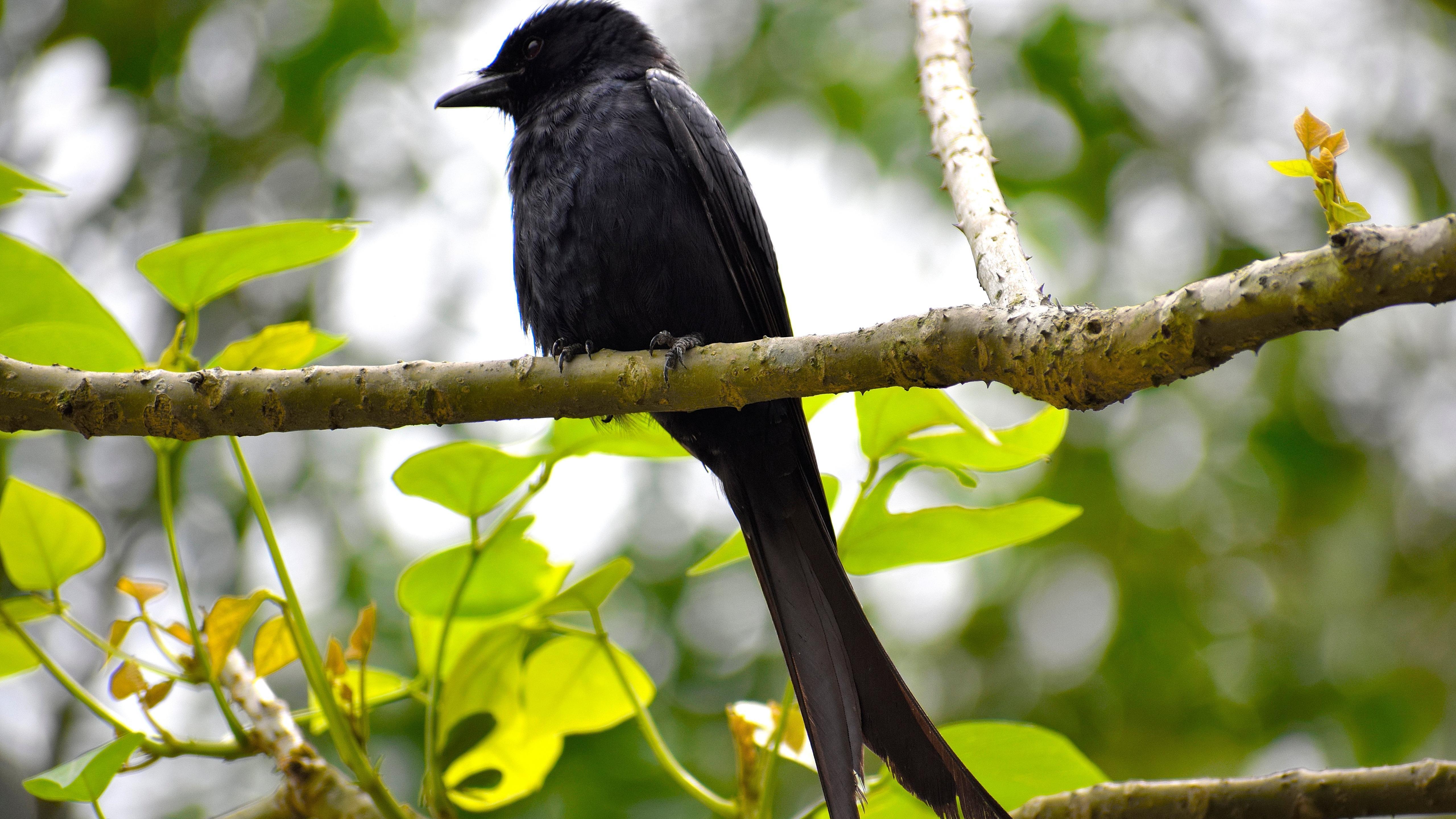 Bird Crow 5120x2880