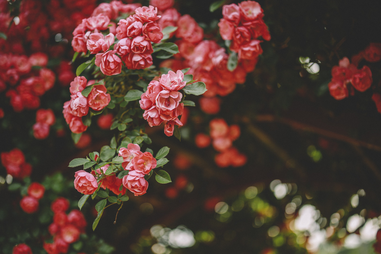 Flowers Nature Landscape Red Plants Forest Field Bushes Grass Photography Leaves Green Roses Rose Co 1280x853