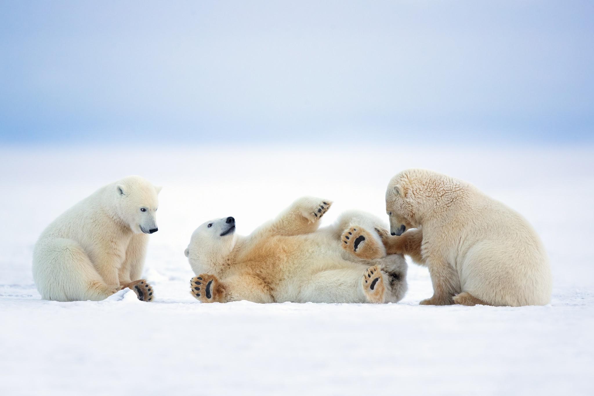 Baby Animal Polar Bear Snow Wildlife 2048x1365