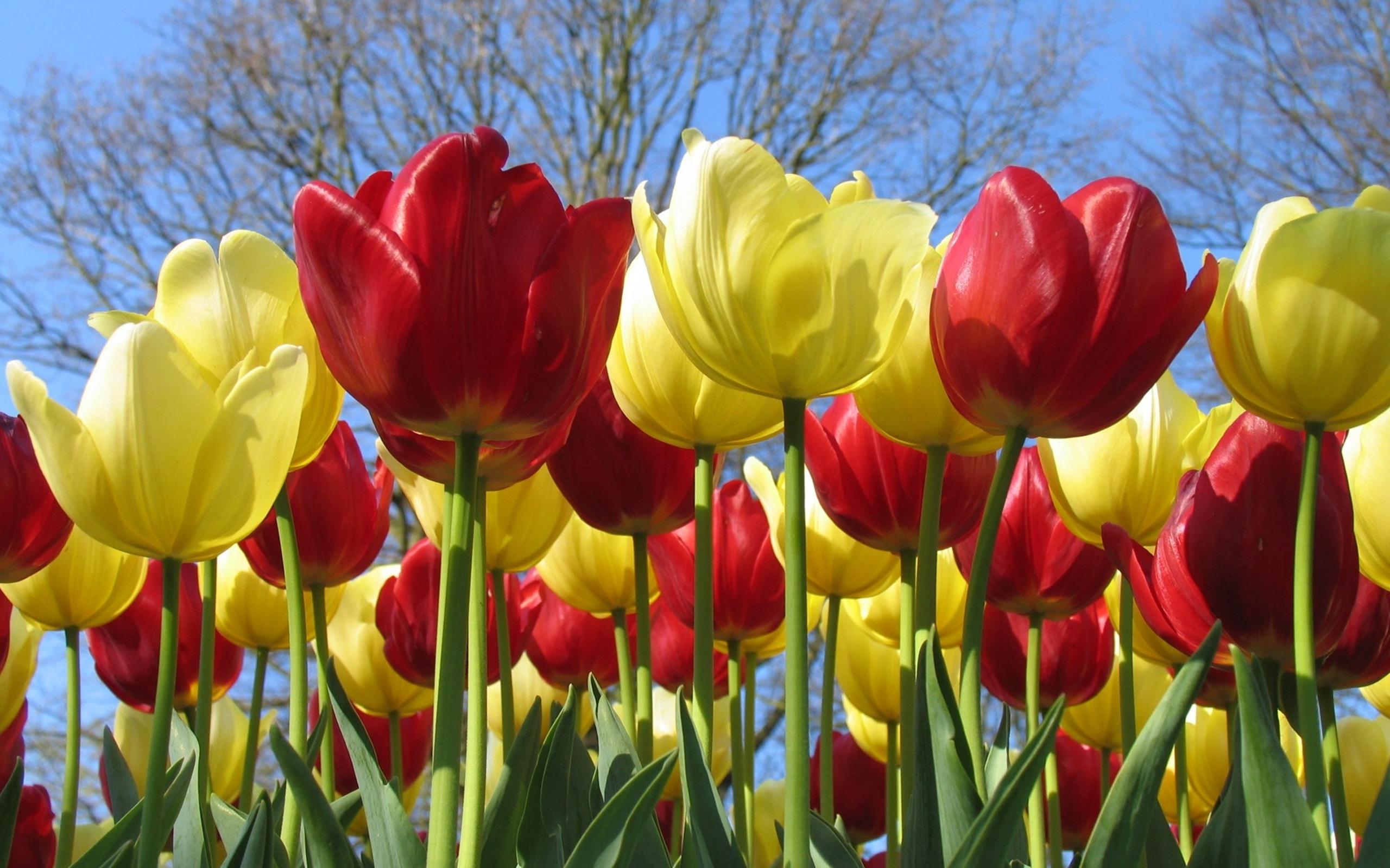 Flower Red Flower Tulip Yellow Flower 2560x1600