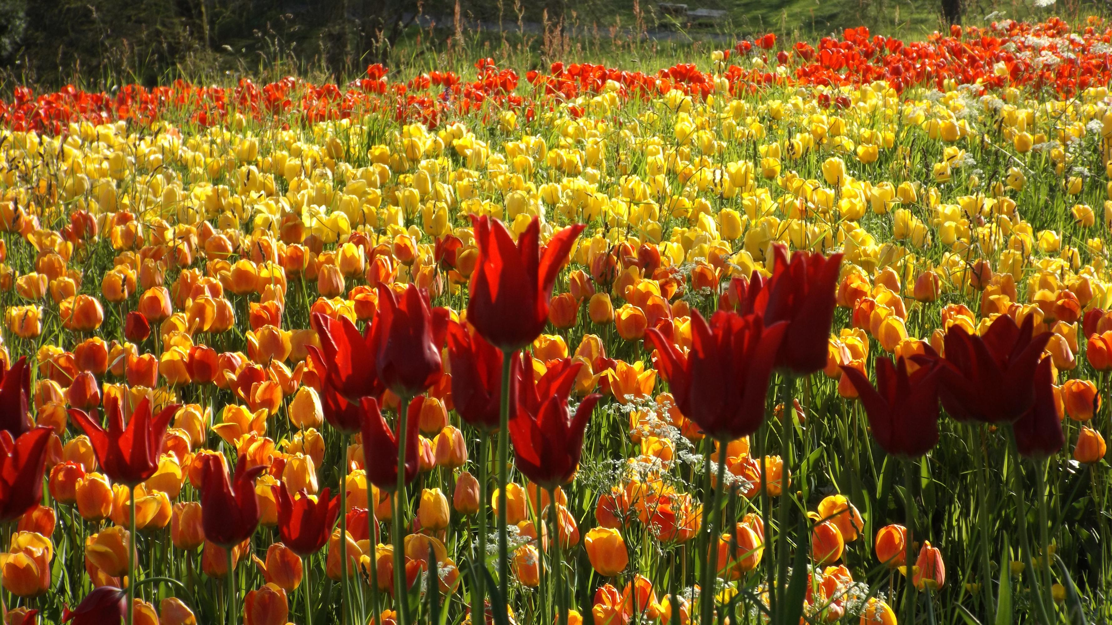 Flower Nature Orange Flower Red Flower Summer Tulip Yellow Flower 3556x2000