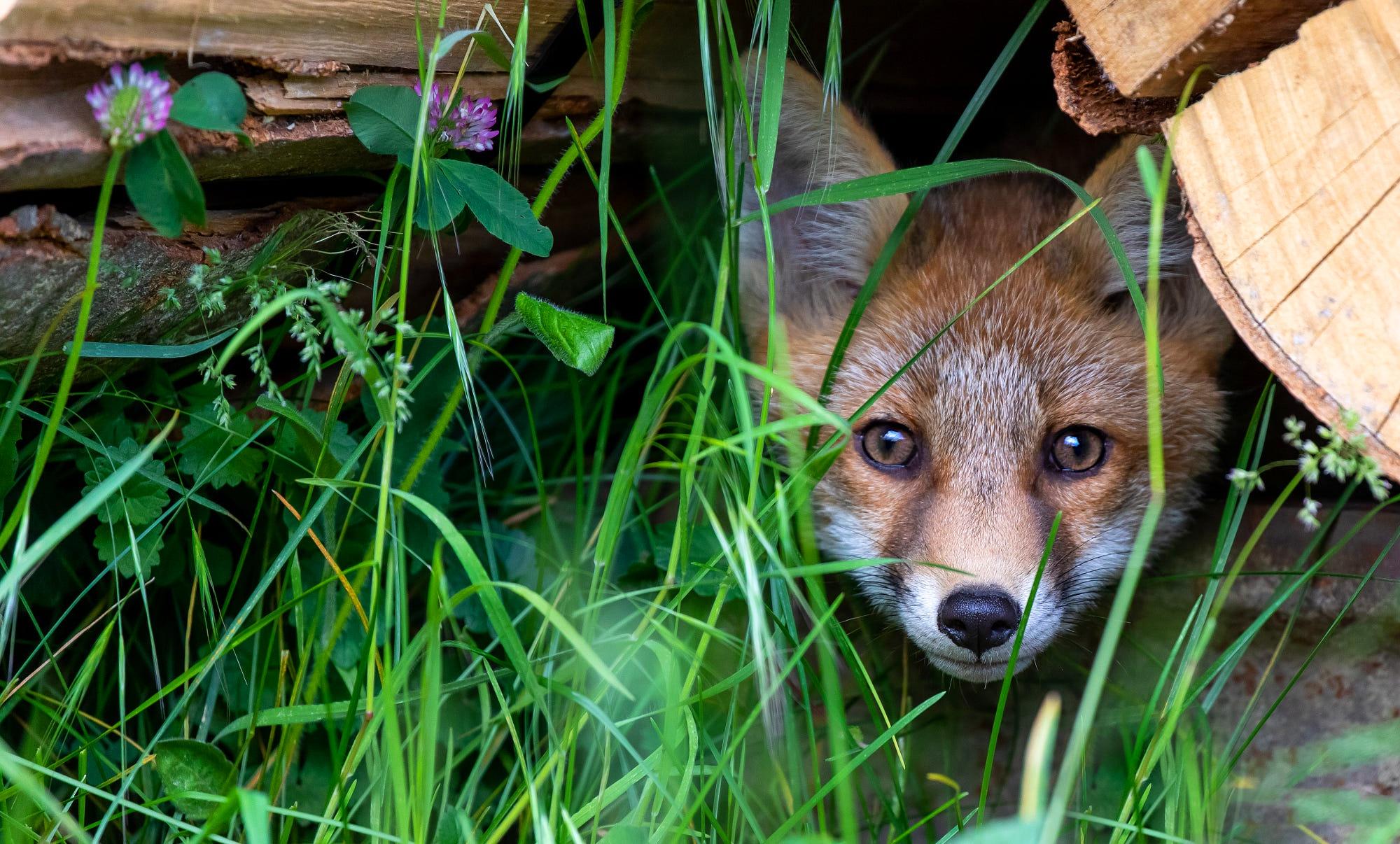 Fox Stare Wildlife 2000x1206