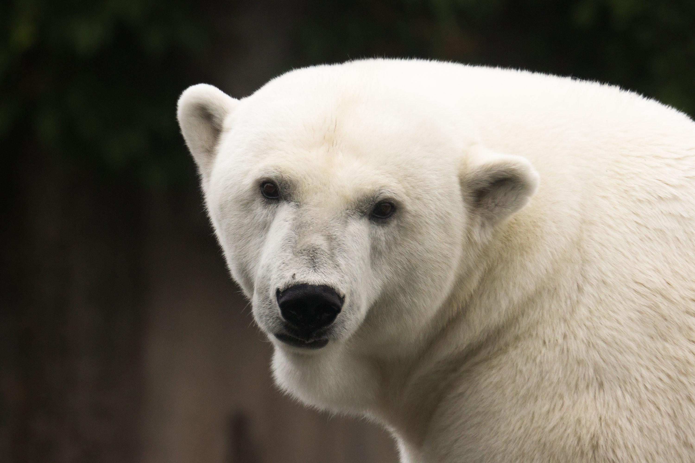 Bear Polar Bear Predator Animal 3000x2000
