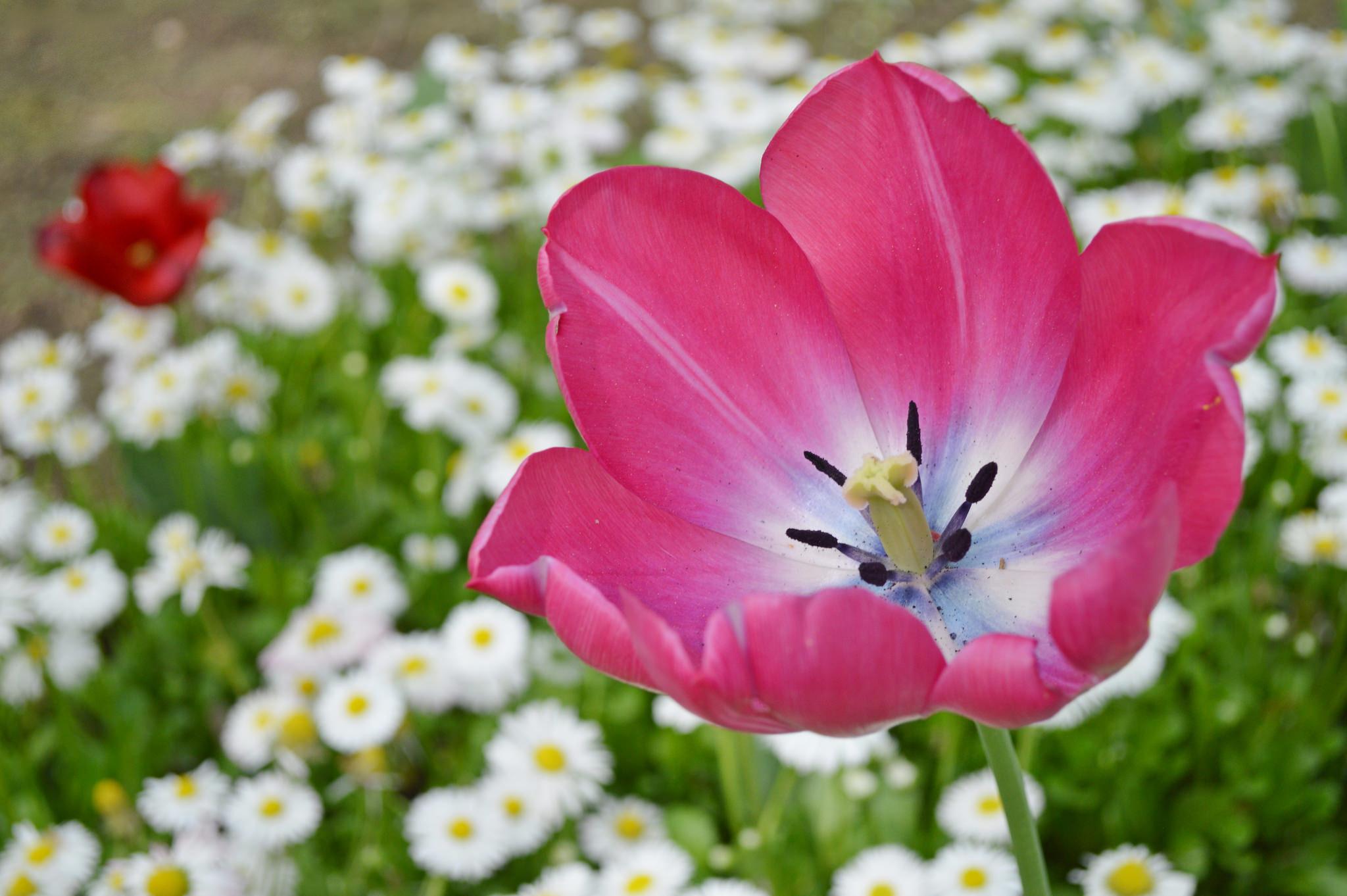 Daisy Flower Petal Tulip 2048x1362