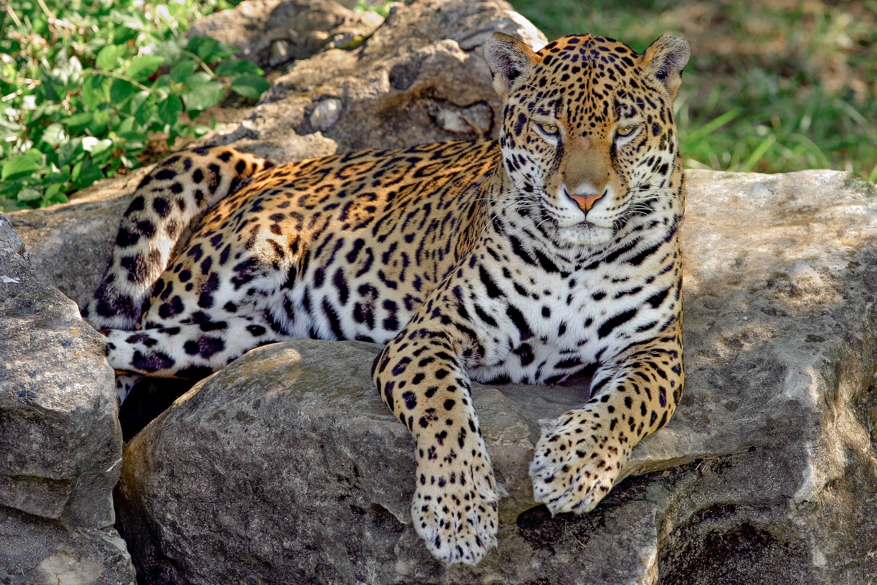 Animal Jaguar 3072x2048