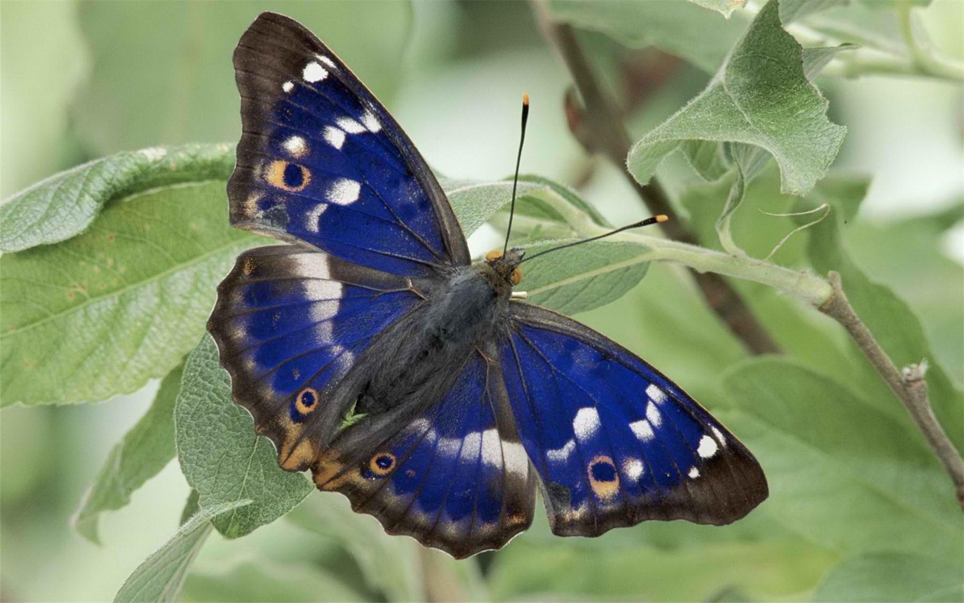 Animal Butterfly Leaf 1920x1200